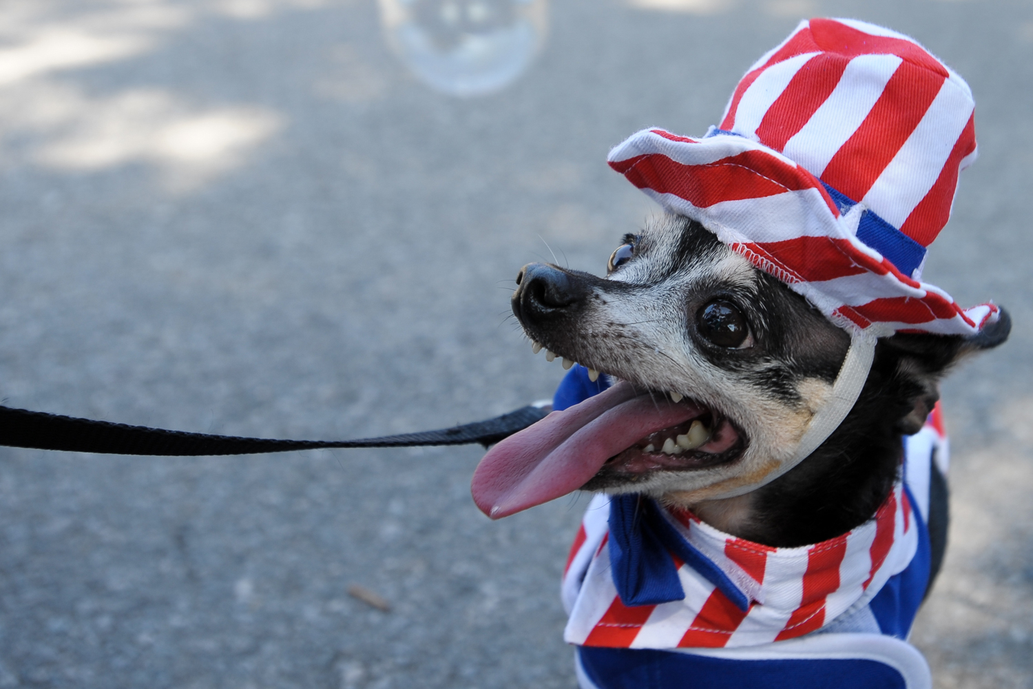 A chihuahua at the 4th of July parade in the McKinney, Texas, town square.