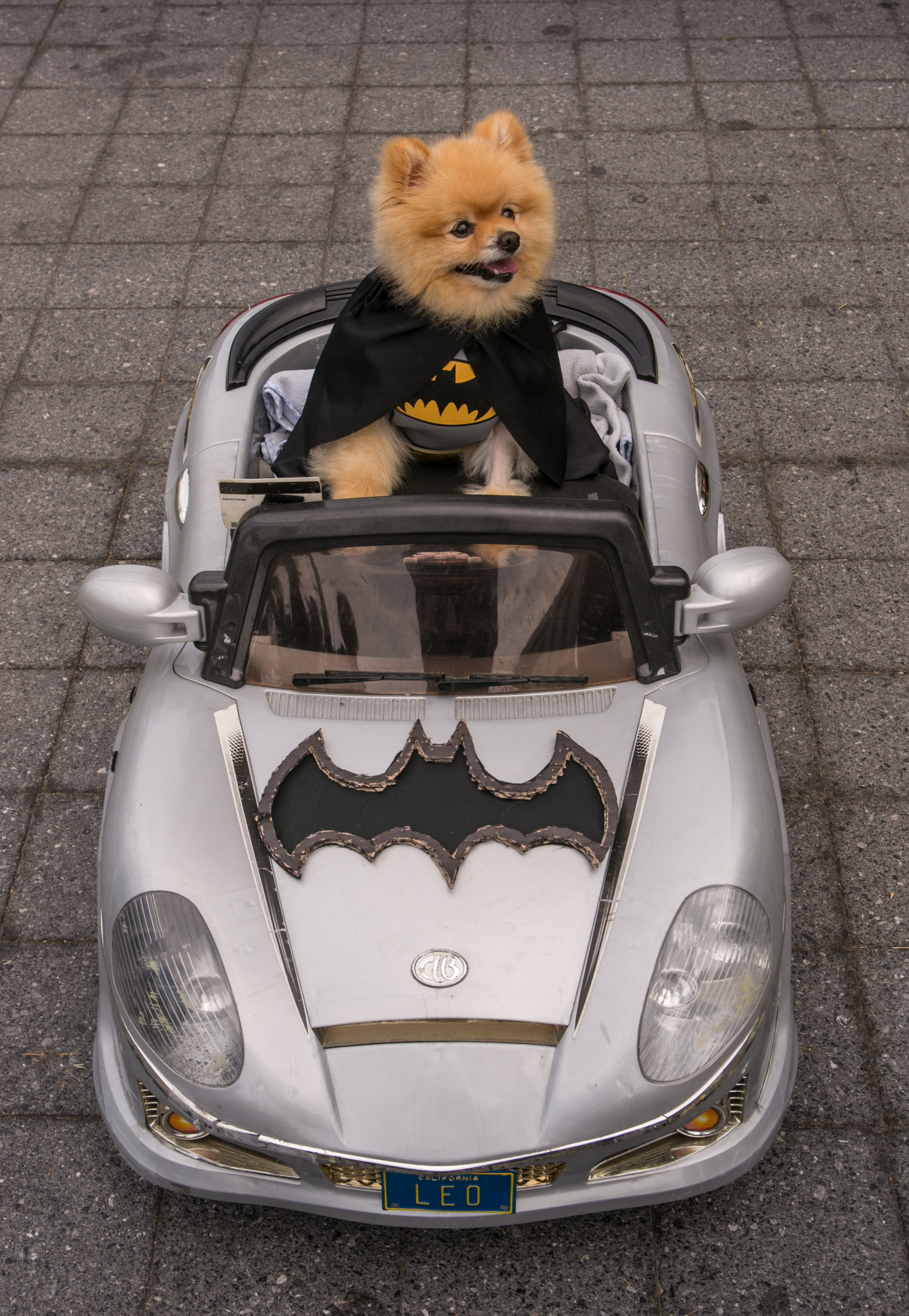 A pomeranian dog dressed as Batman sits in a toy electric car outside Comic-Con 2013 on July 23, 2013, in San Diego.