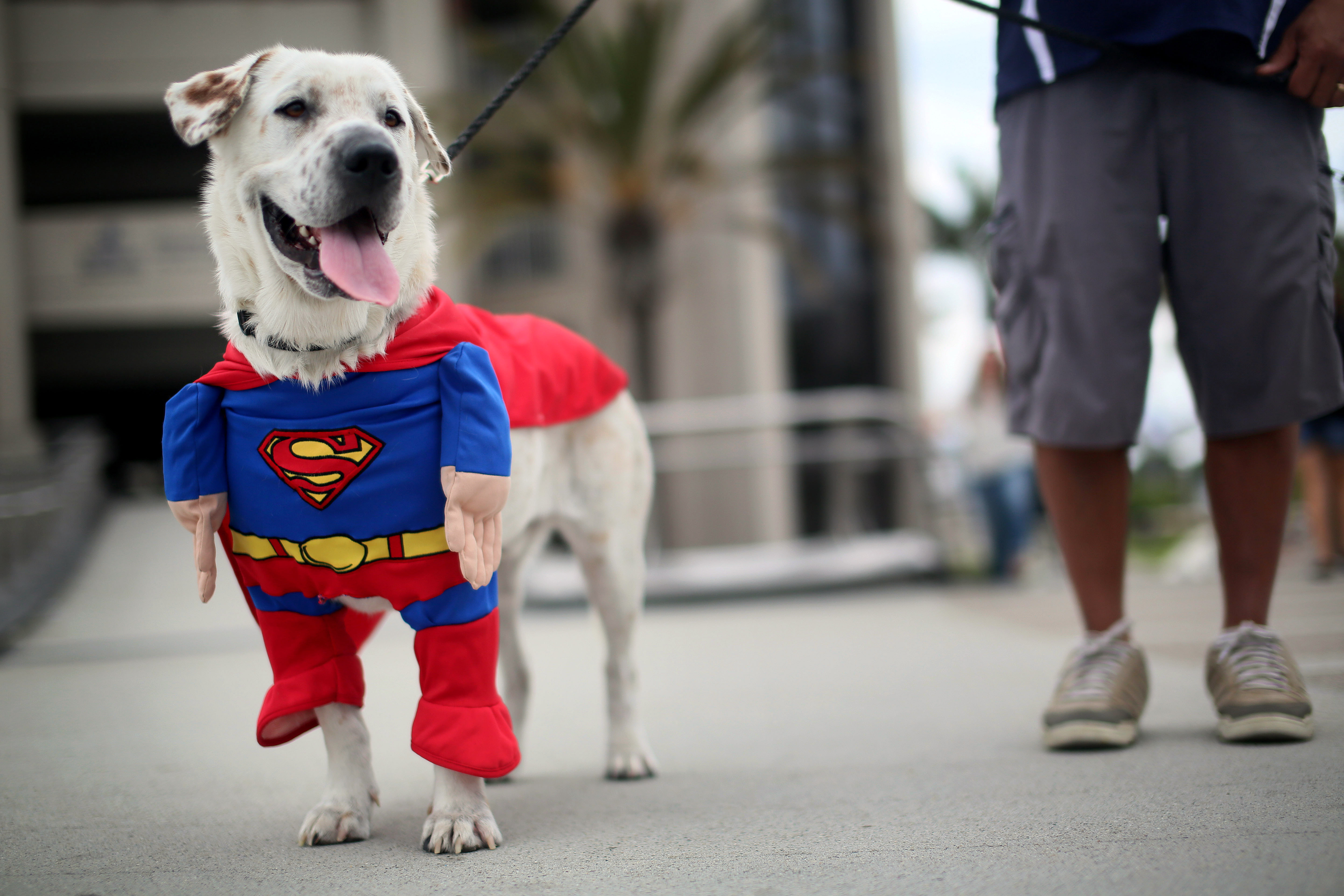 Beckham the dog sports a Superman costume during Comic Con on July 19, 2013 in San Diego.