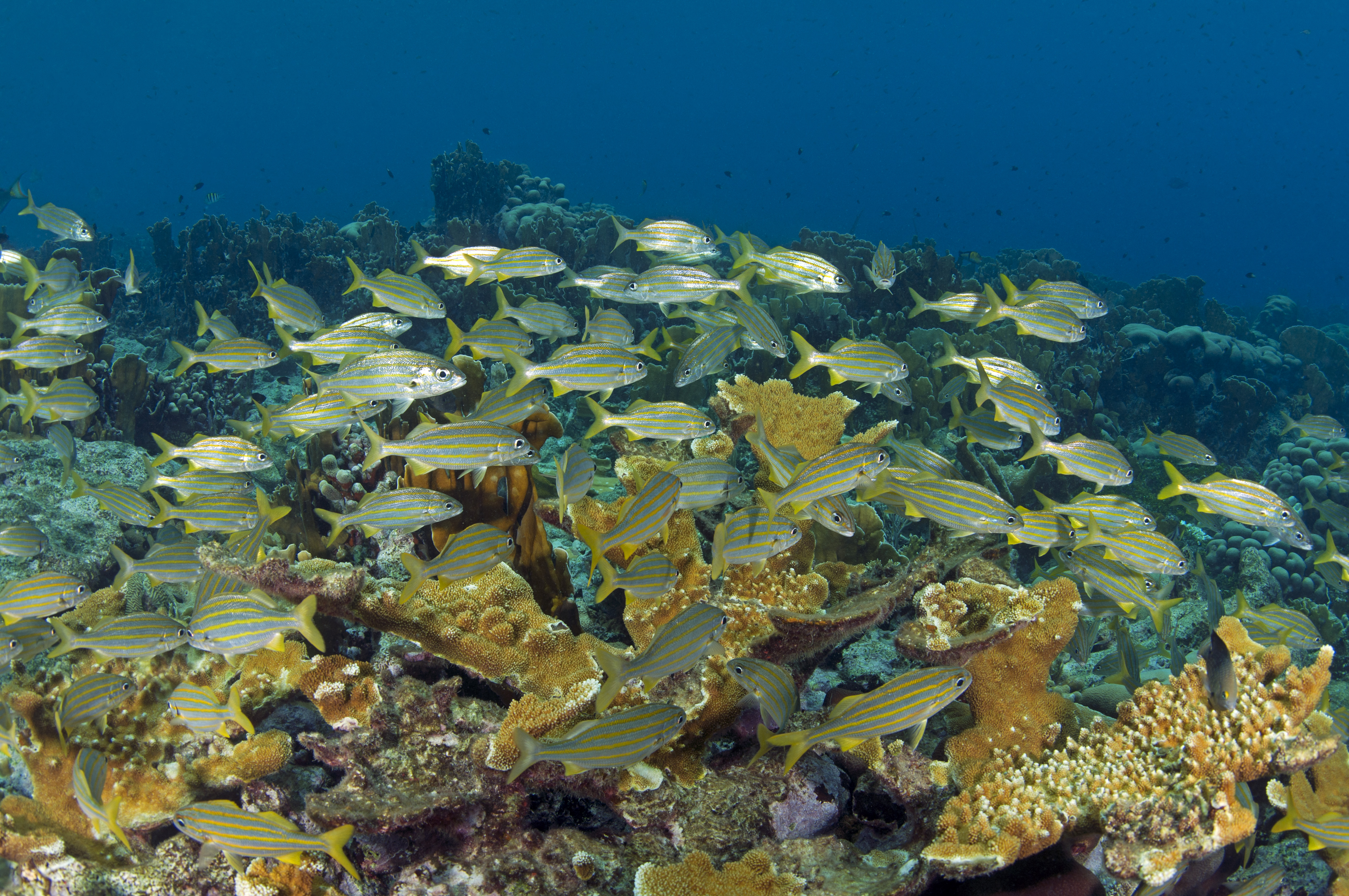 School of smallmouth grunts (Haemulon chrysargyreum) over the coral reef, Curacao, Netherlands Antilles.