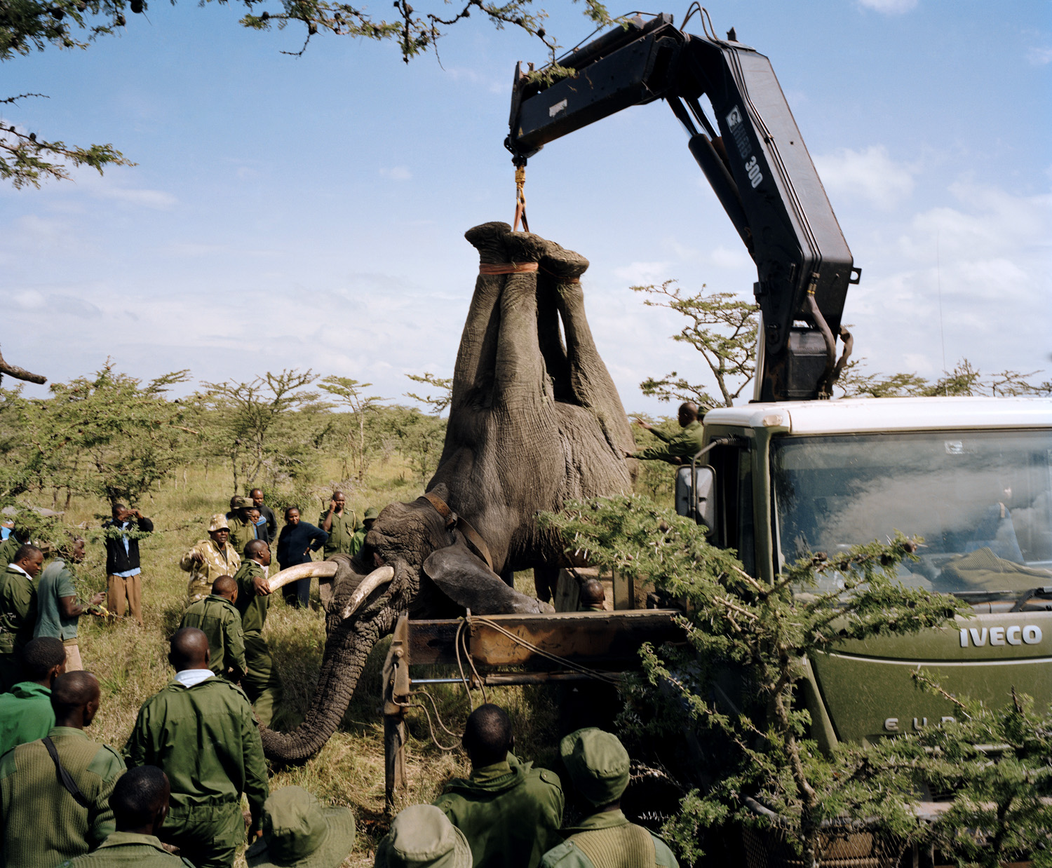 Wildlife rangers prepare to relocate a troublesome elephant from the                      Ol Pejeta Conservancy to Meru National Park