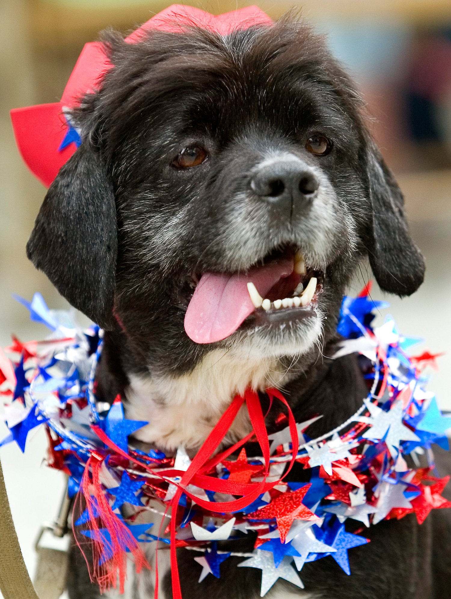 Bill waits to compete in the Mutt Strutt patriotic dog contest during an Independence Day celebration in Moscow, Idaho, on Friday, July 4, 2008.