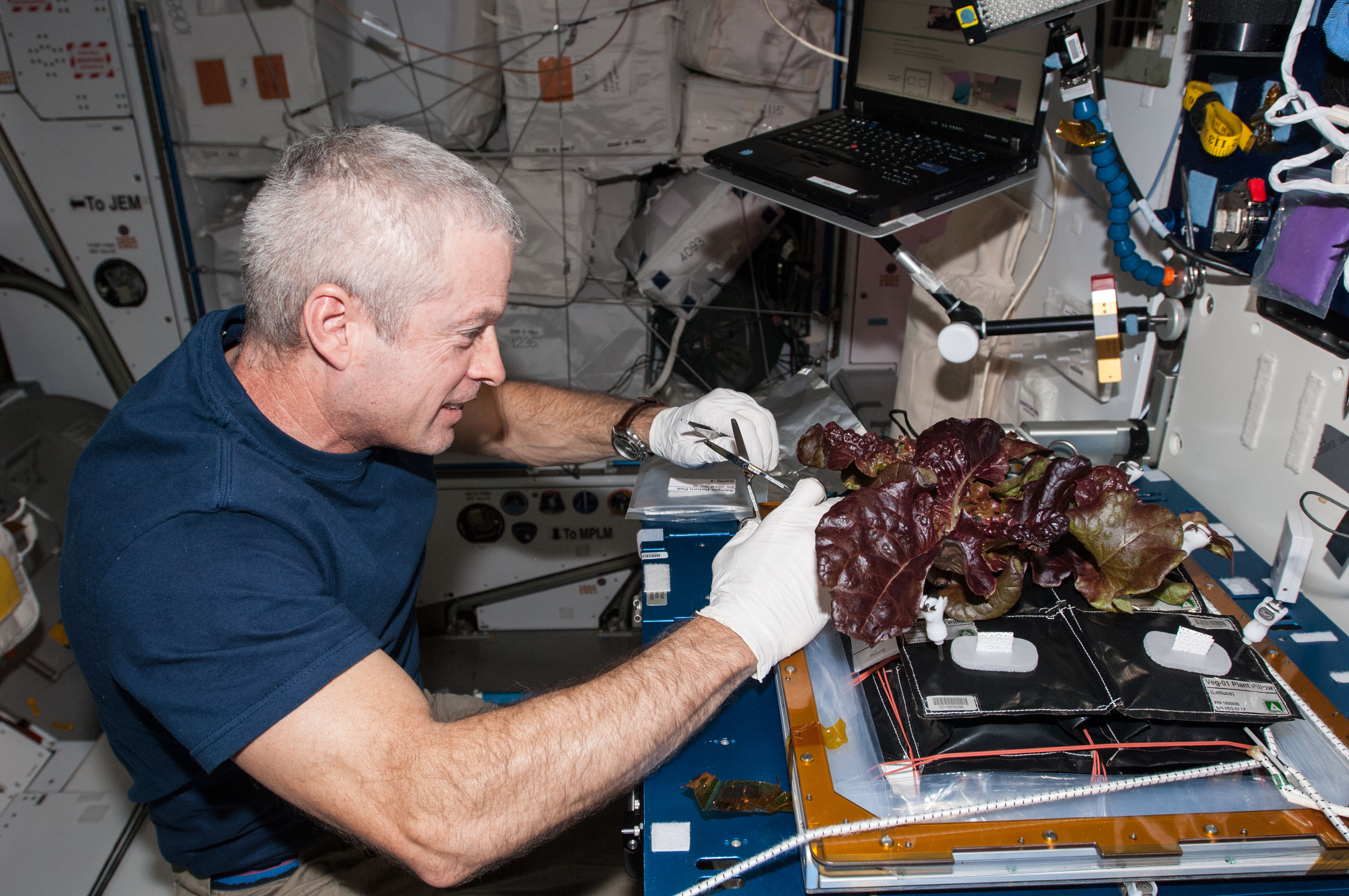 In the International Space Station's Harmony node, NASA astronaut Steve Swanson harvests a crop of red romaine lettuce plants that were grown from seed inside the station's Veggie facility,