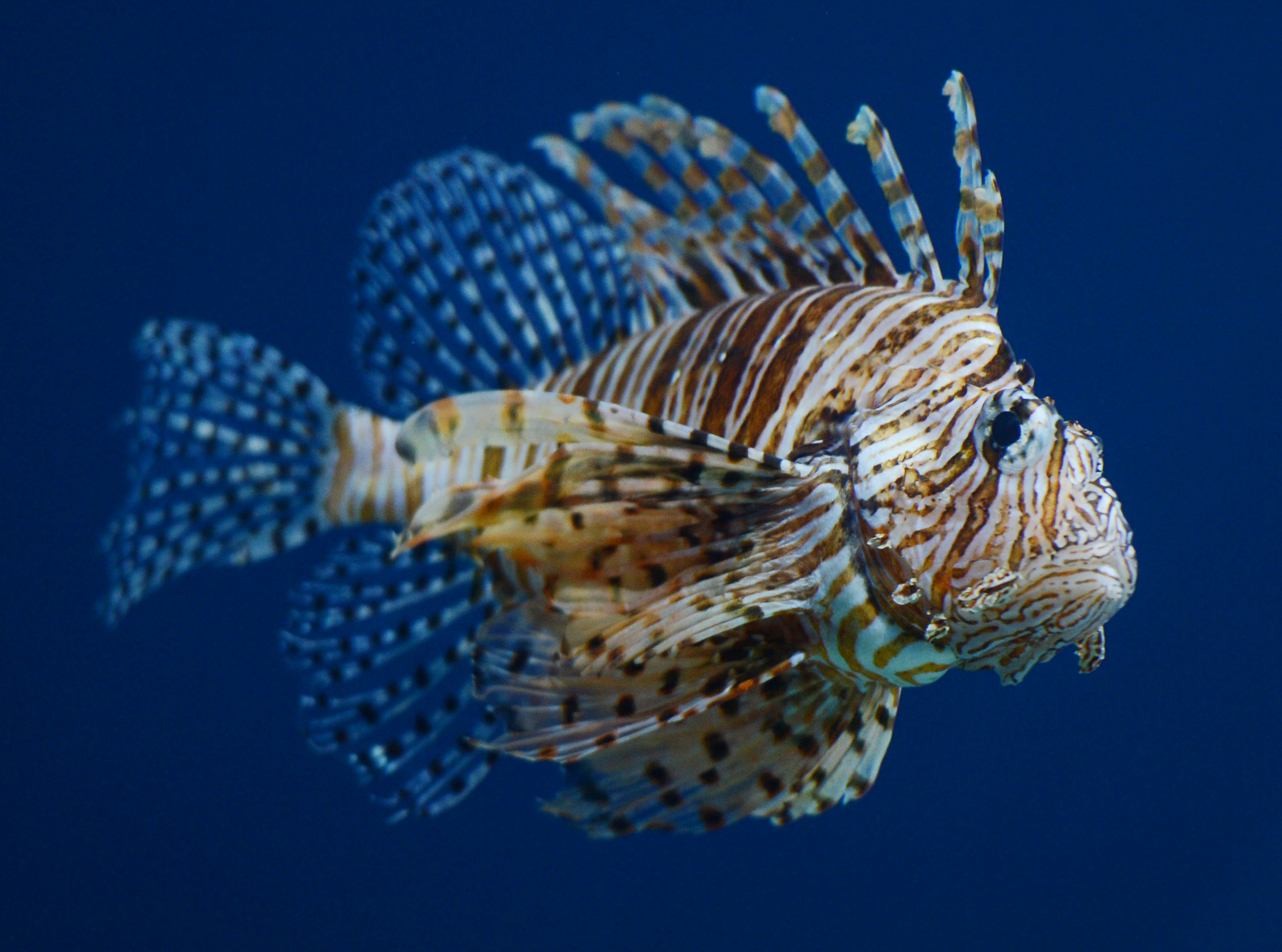 A winged lionfish at the Beijing Aquarium  on May 30, 2012.