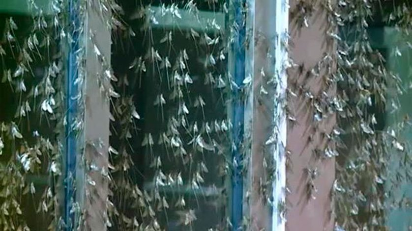 Massive Mayfly emergence at La Crosse in La Crescent, Wis. on July 20, 2014.