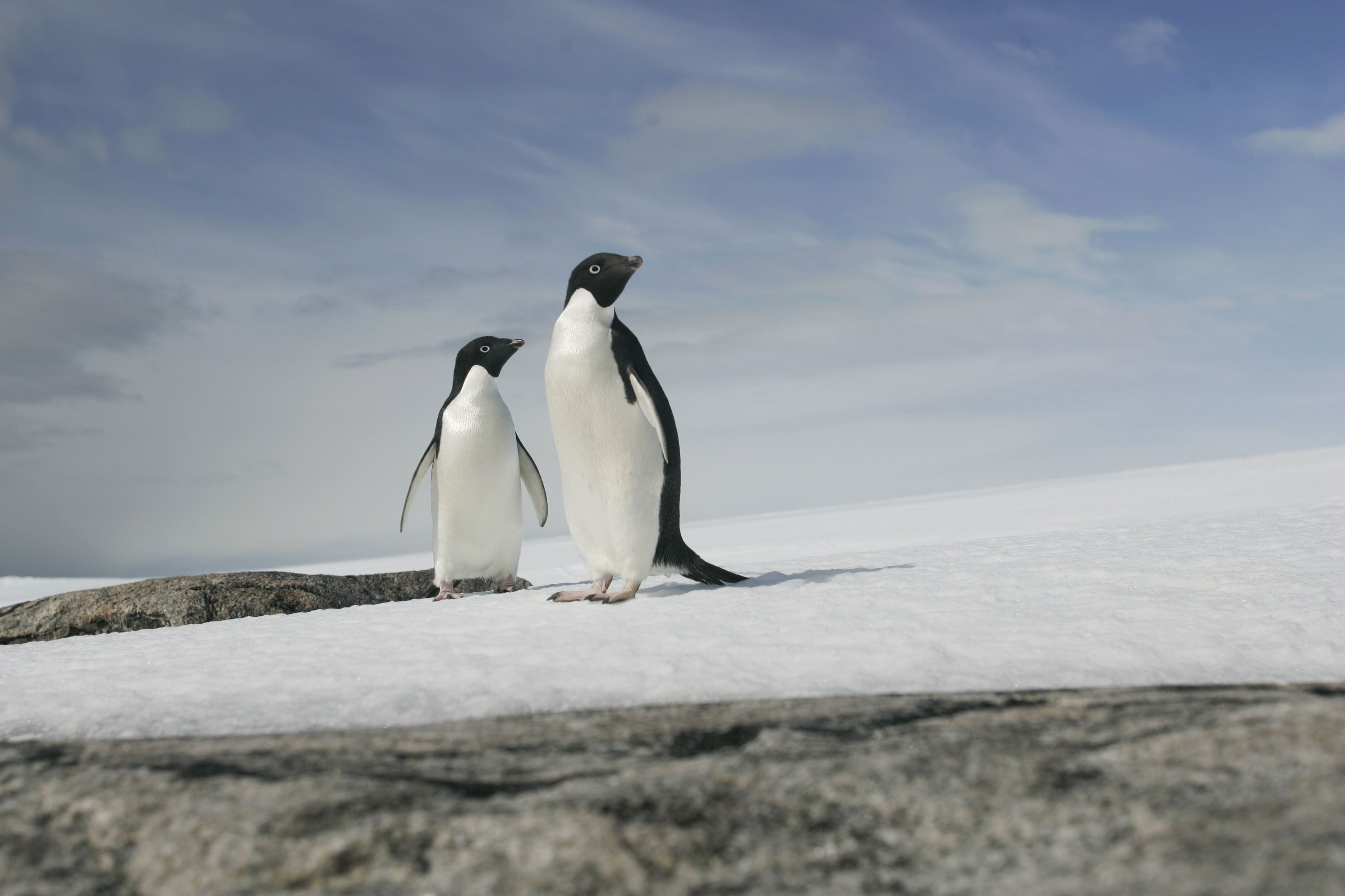 A pair of Adelie penguins are pictured at Cape Denison, Commonwealth Bay, East Antarctica on Dec. 28, 2009.