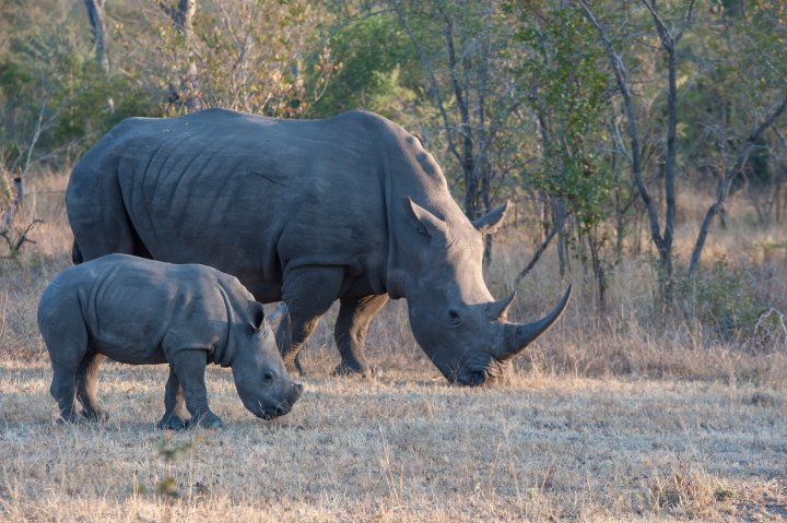 Goodbye to all that: millions of earth's species, like the white rhino, are no match for the one species that considers itself the smartest
