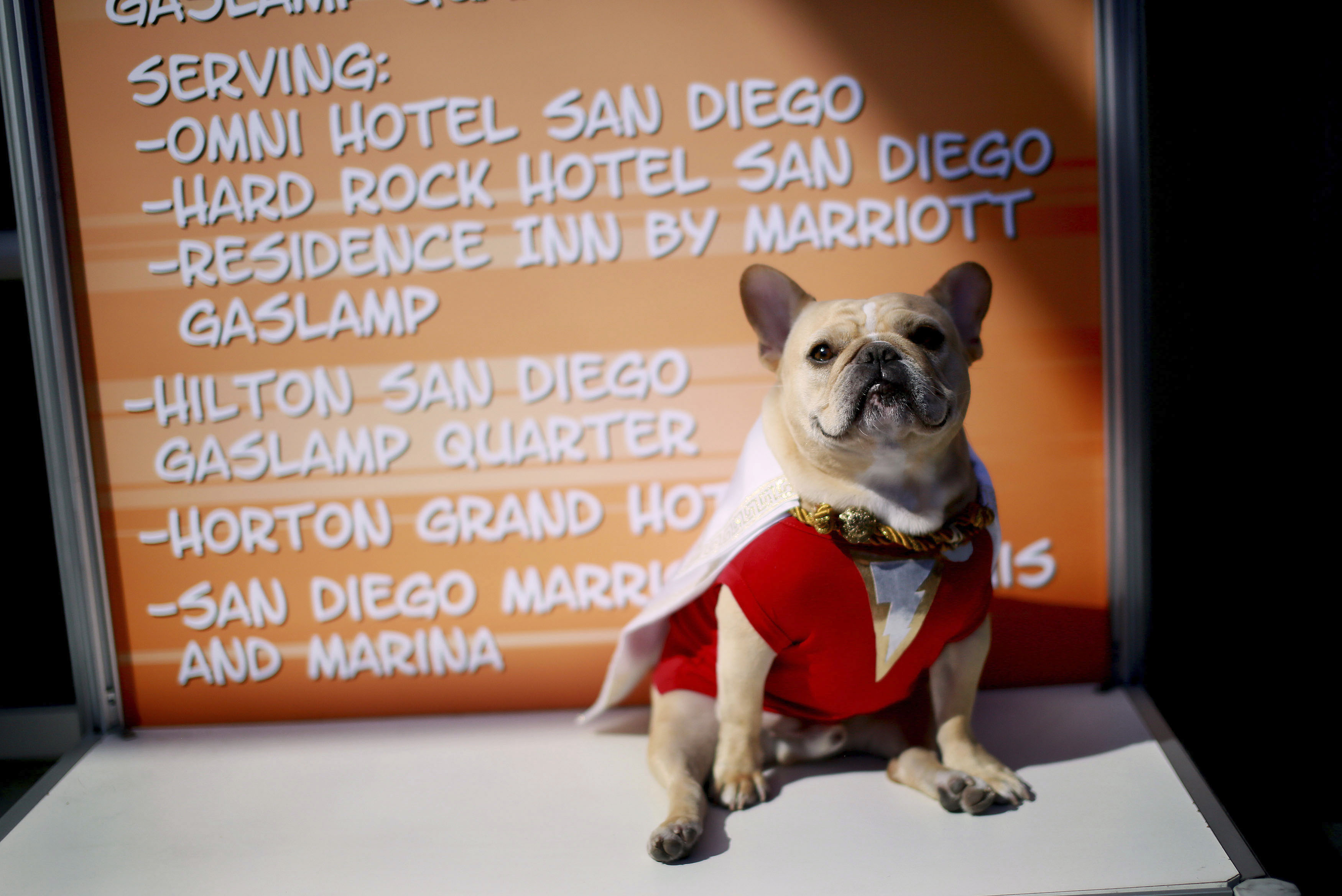 Ollie the French Bulldog, dressed in a  Shazam  costume, sits outside of the San Diego Convention Center during the 2014 Comic-Con International Convention in San Diego, California July 24, 2014.