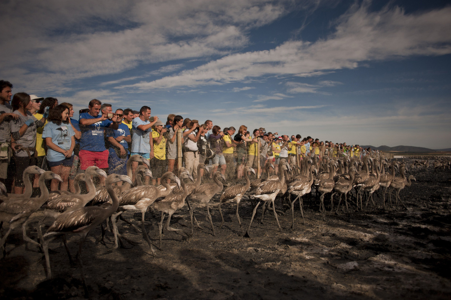Volunteers watch flamingo chicks being released at the Fuente de Piedra lake, 70 kilometres from Malaga, Spain on July 19, 2014.
