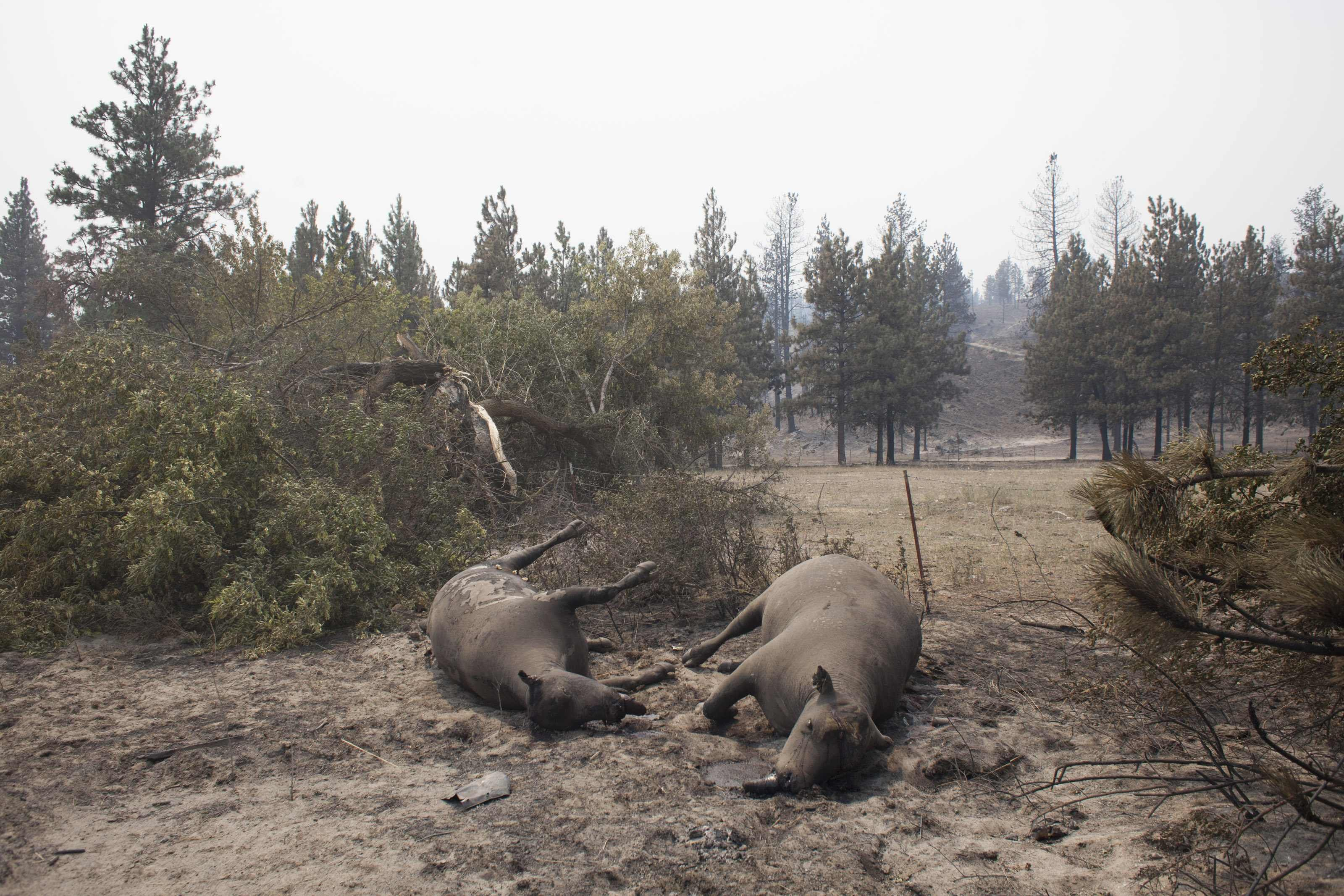 Deceased cattle, which fell victim to the Carlton Complex Fire, are pictured on ranch land near Malott, Washington July 20, 2014.