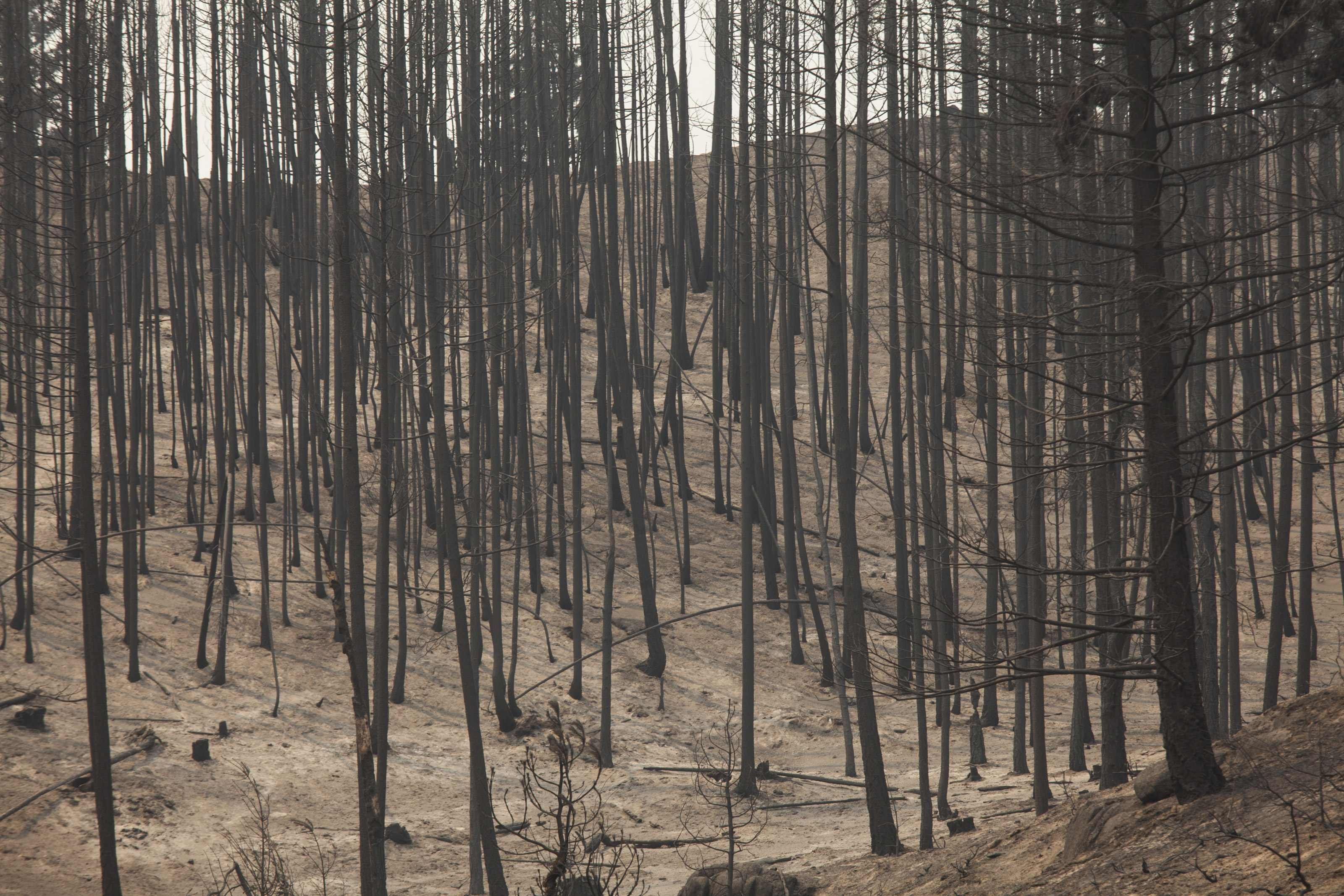 Scorched trees are pictured after being burned by the Carlton Complex Fire near Malott, Washington July 20, 2014.