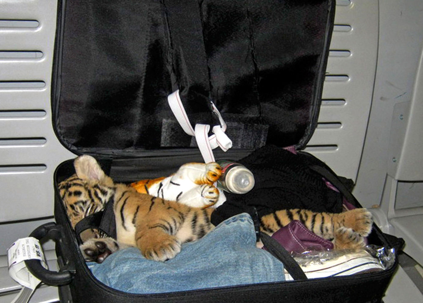 A baby tiger cub is found  in the suitcase of a woman flying from Bangkok to Iran, at Suvarnabhumi Airport, in Bangkok, Thailand. Authorities at the airport found the baby tiger cub that had been drugged and hidden among stuffed toy tigers in the suitcase. Photo release Aug. 22, 2010.