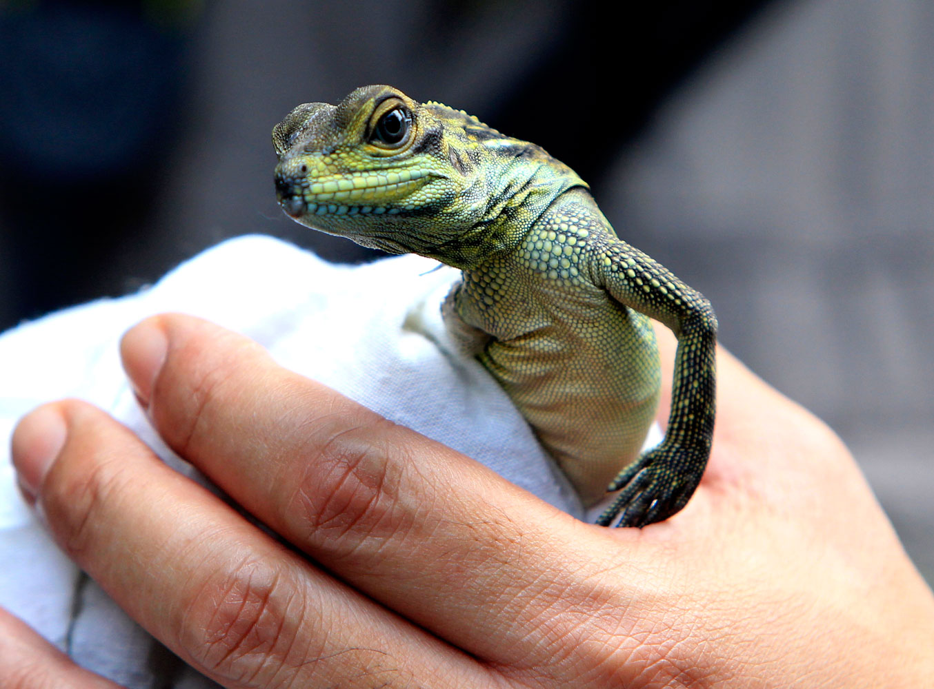 An employee of Protected Areas and Wildlife Bureau holds one of five sailfin lizards that were smuggled into Hong Kong and brought back to the Philippines on June 8, 2012.  The lizards were smuggled into Hong Kong along with 18 Philippine pond turtles and 13 Asian box turtles.