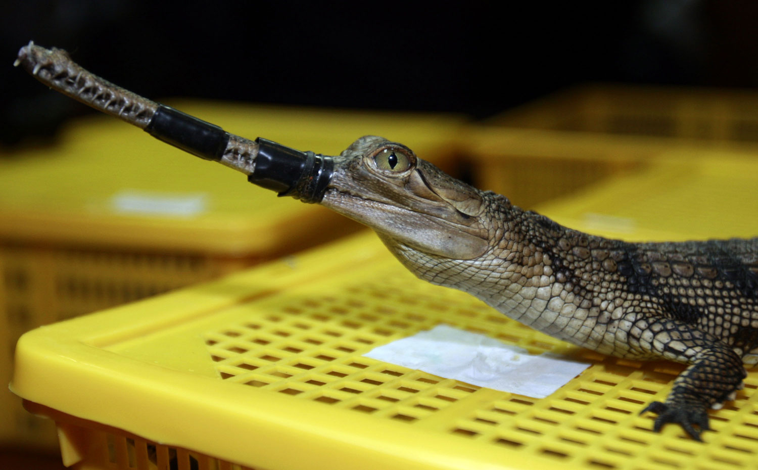 A crocodile native to India is shown to the press during a news conference in Bangkok on June 2, 2011. Thai customs authorities say 431 turtles and other rare reptiles were stuffed into four suitcases and smuggled into the Bangkok airport.