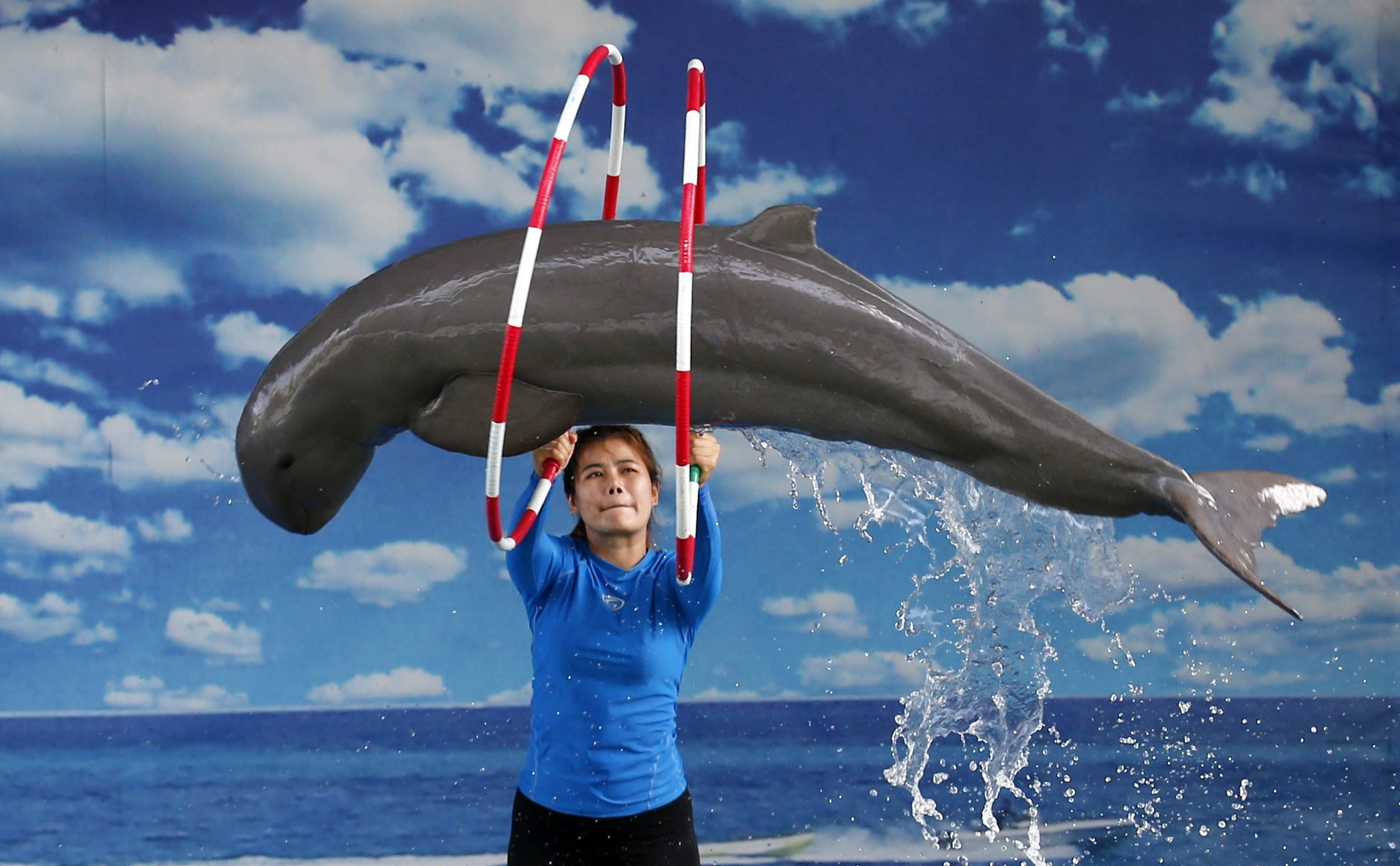 Aug. 8, 2014. An Irrawaddy Dolphin is made to jump through hoops during a performance at Pattaya Dolphin World and Resort, in Pattaya, Thailand.