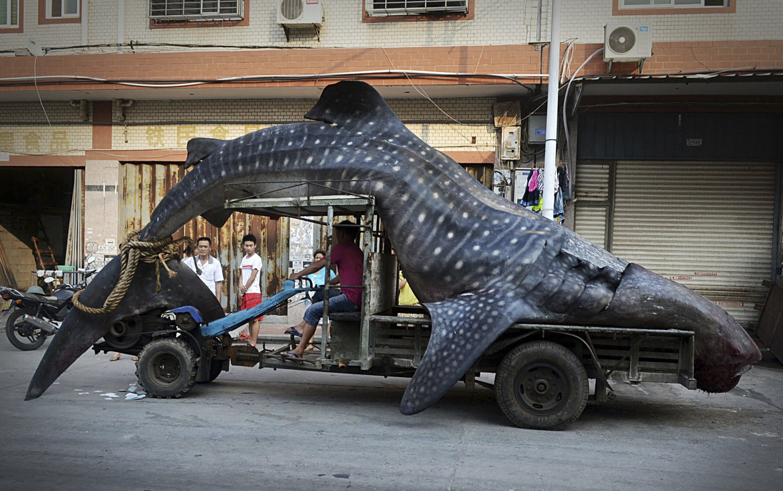 Aug. 1, 2014. A fisherman transports a dead whale shark after it was caught in fishermen's net, in Yangzhi county, Fujian province. According to local media, the whale shark is five-metre-long and weighs over 2 tons.