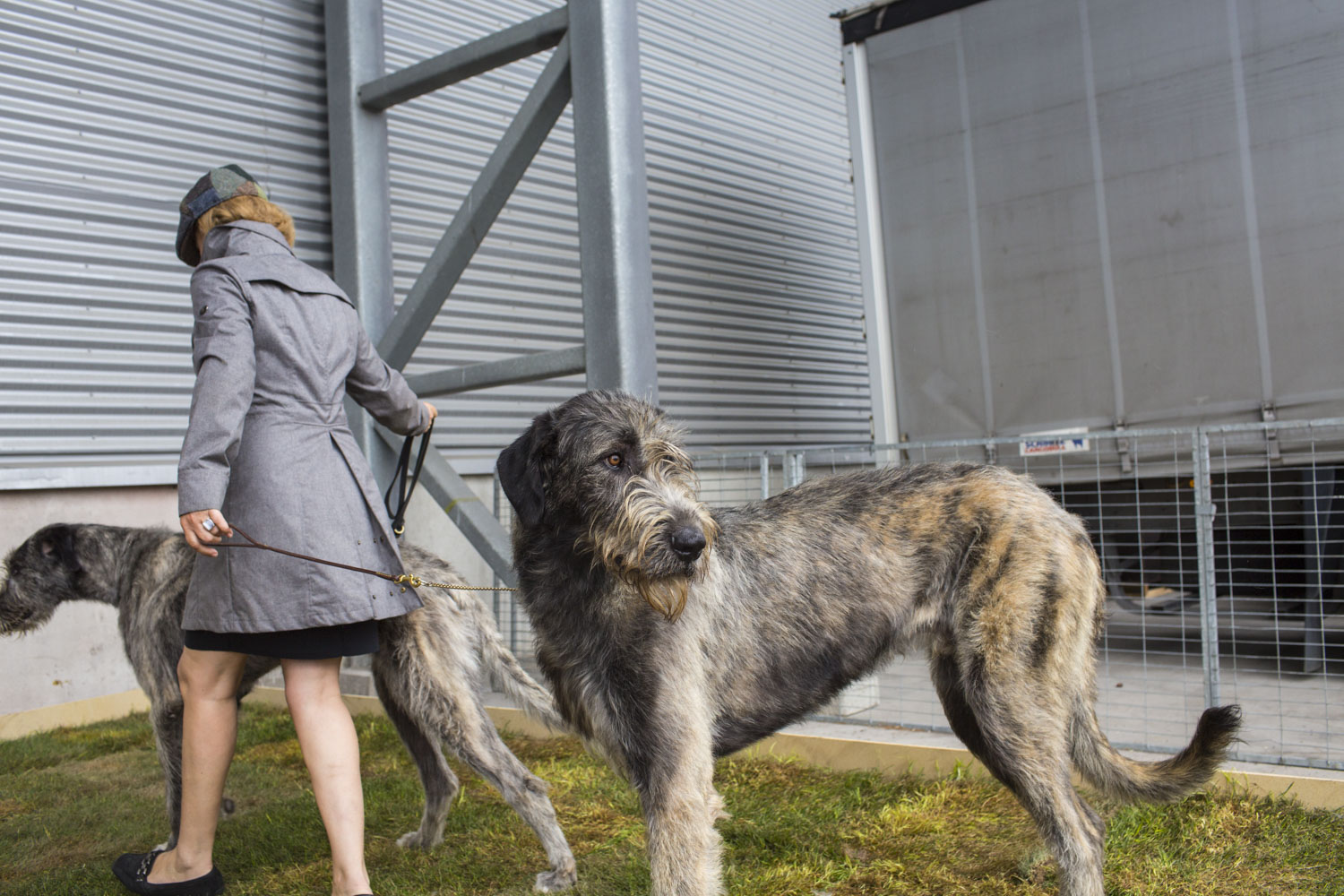 Apple, as in  apple of my eye,  an Irish Wolfhound, looks over his shoulder as his owner, Gosewien van Klaarbergen, of the Netherlands, leads her other wolfhound, Tokyo, outside of the 2014 World Dog Show on Saturday, August 9th, 2014, in Helsinki, Finland.