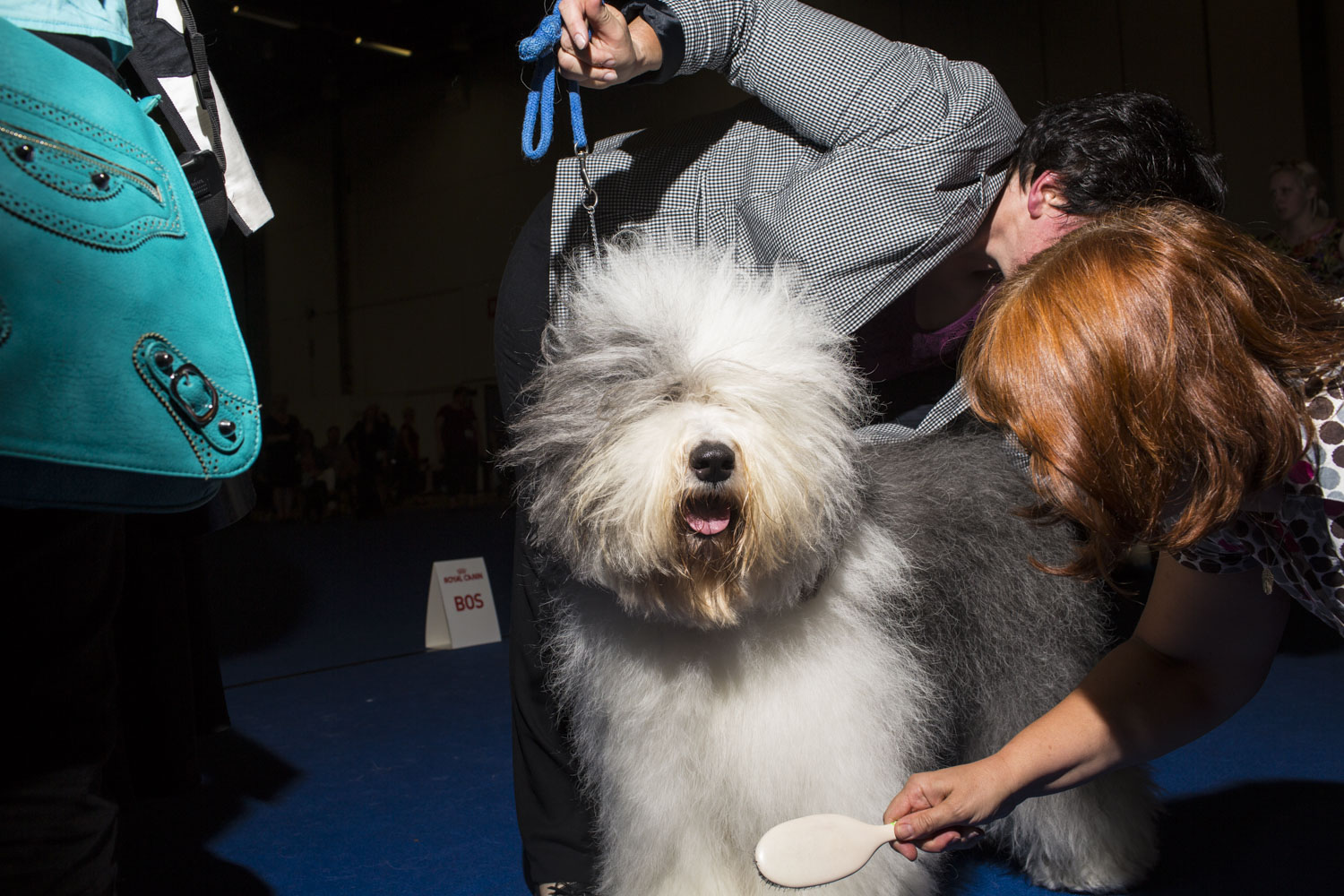Nancy, a three year old female Old English Sheepdog is prepped for the official winning photo by her handler Elisabeth Antl, top, from Austria, and an assistant, after winning Best of Breed during the 2014 World Dog Show on Sunday, August 10th, 2014, in Helsinki, Finland.