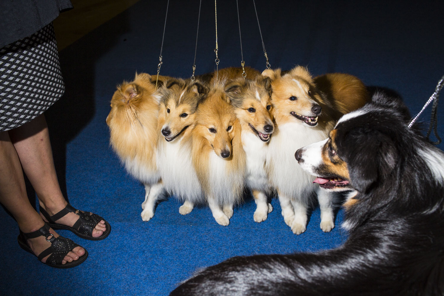Anne Reider's five Shetland Sheep dogs from Sweden make the acquaintance of another canine before competing in the Best Breeders' Group, which they won on the final day of the 2014 World Dog Show on Sunday, August 10th, 2014, in Helsinki, Finland.