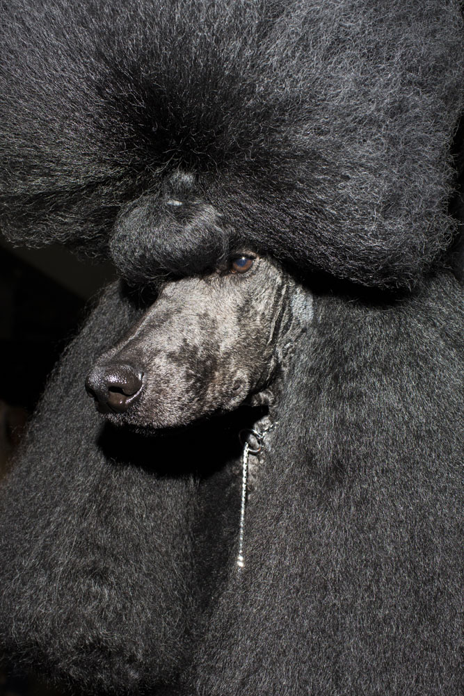A standard poodle named Afterglow Maverick Sabre--known as Ricky, stands at attention on the groomer's table before placing 2nd in group nine during the 2014 World Dog Show on Sunday, August 10th, 2014, in Helsinki, Finland.