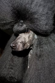HELSINKI, FINLAND - AUG 10: A standard poodle named Afterglow Maverick Sabre--known as Ricky, stands at attention on the groomer's table before placing 2nd in group 9 during the 2014 World Dog Show on Sunday, August 10th, 2014, in Helsinki, Finland. (Photo by Landon Nordeman)