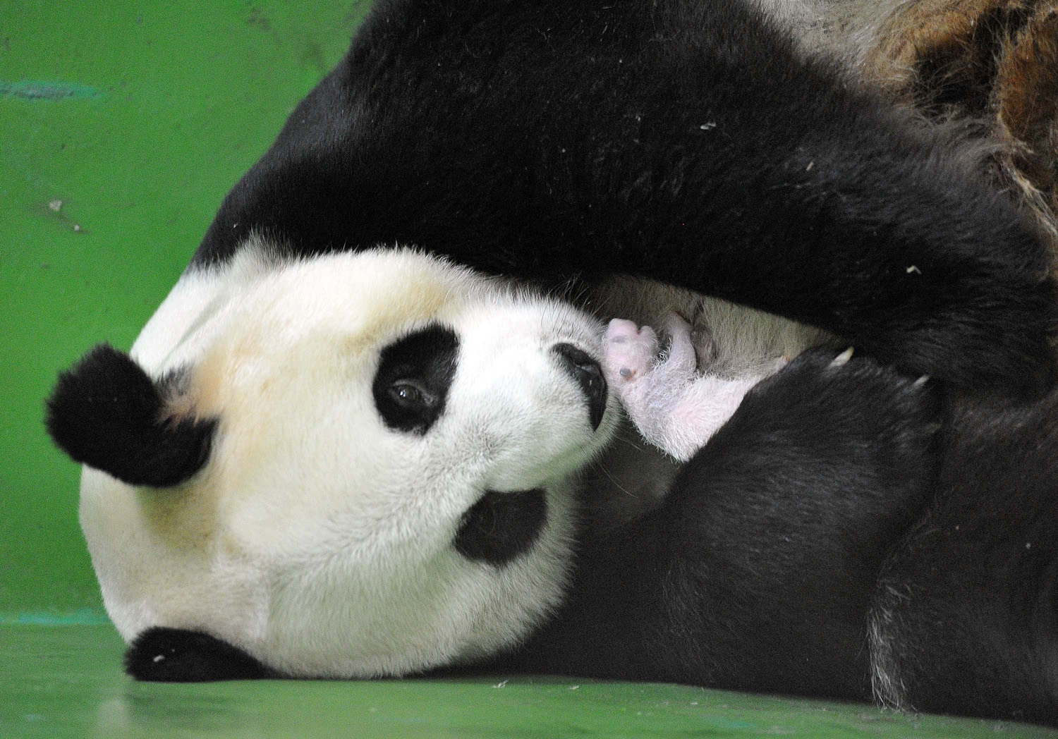 Giant panda  Ju Xiao  gave birth to three panda cubs on July 29, here she holds one of her panda cub's in her arms in Guangzhou, China on August 10, 2014.