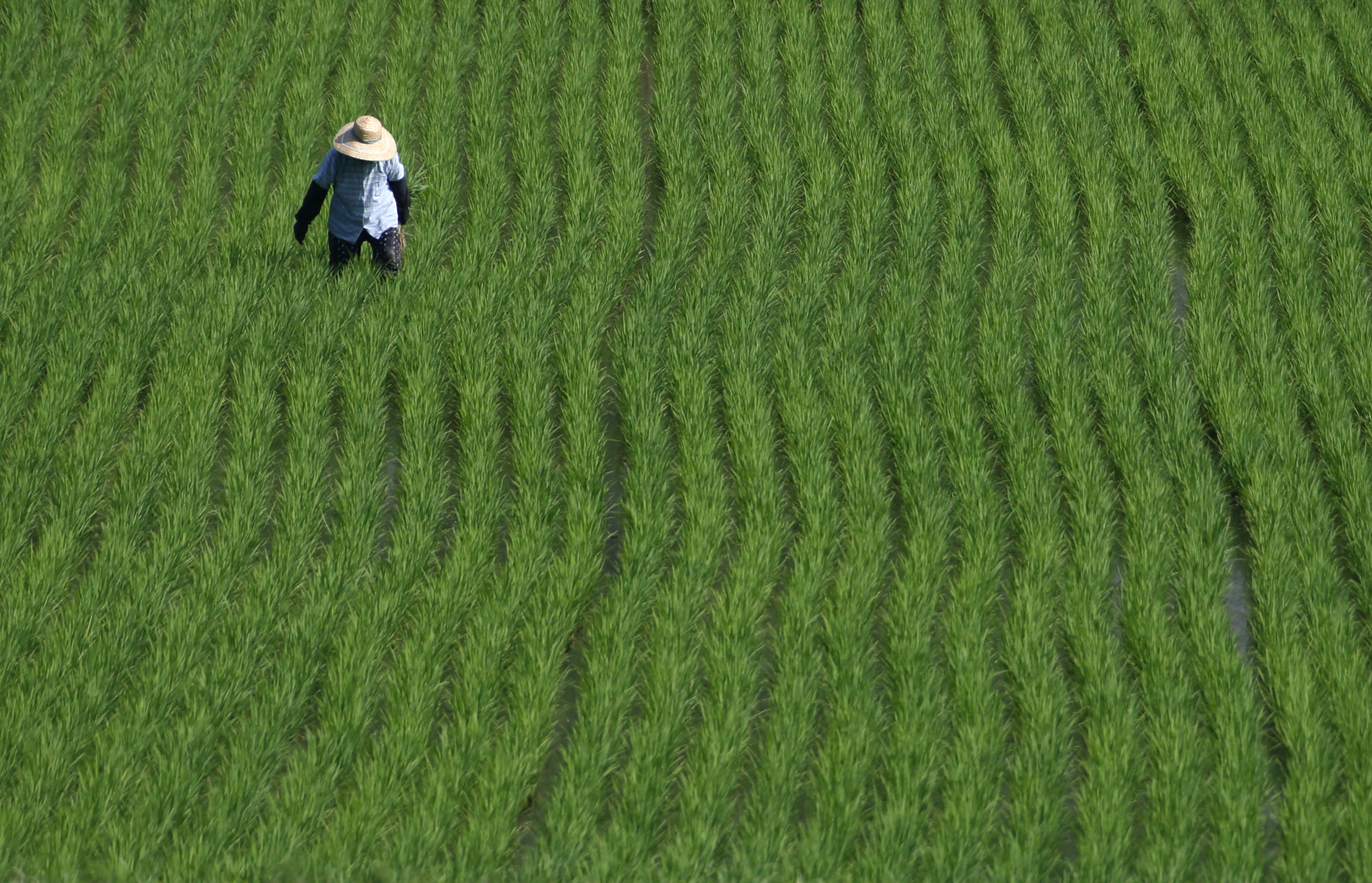 A rice farmer works in a paddy field in Yabu City, Hyogo Prefecture, Japan, on Wednesday, June 25, 2014.