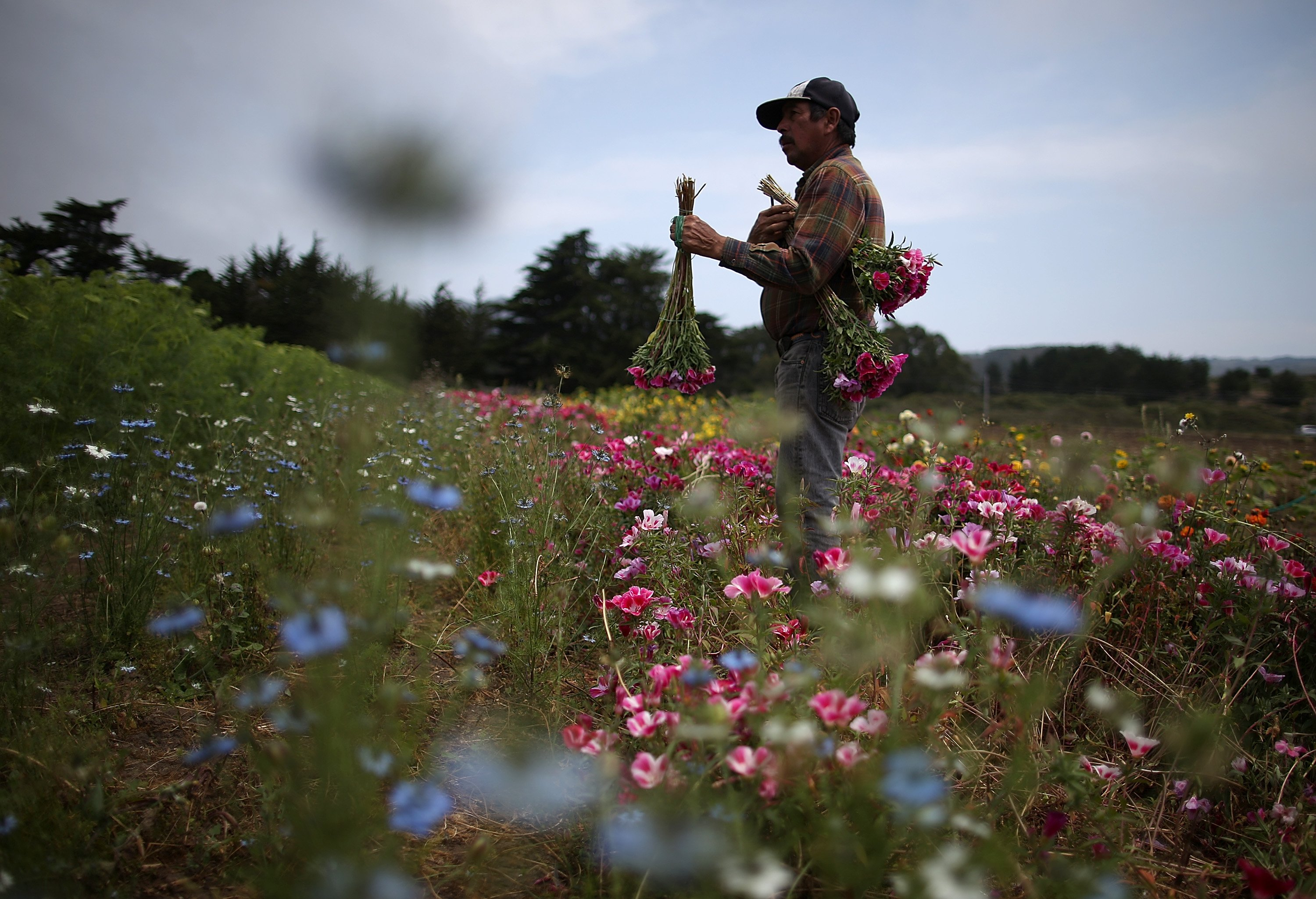 Aug. 6, 2014. Field worker Reuben Haro harvests fresh flowers at Cypress Flower Farm in Moss Beach, California.  As the severe drought in California continues to worsen, flower farmers are facing hardships and are reducing the size of their crops as water prices reach record highs and natural water resources are drying up.