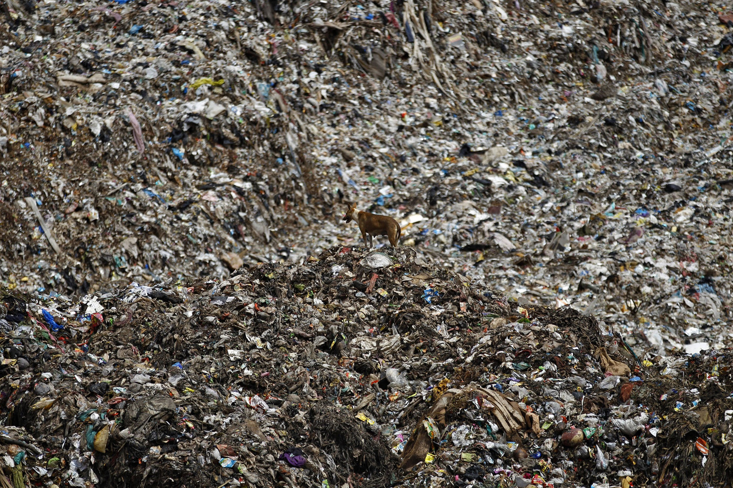 Aug. 26, 2014. A stray dog stands on a mound of garbage at a landfill site on the outskirts of Bangalore, India.