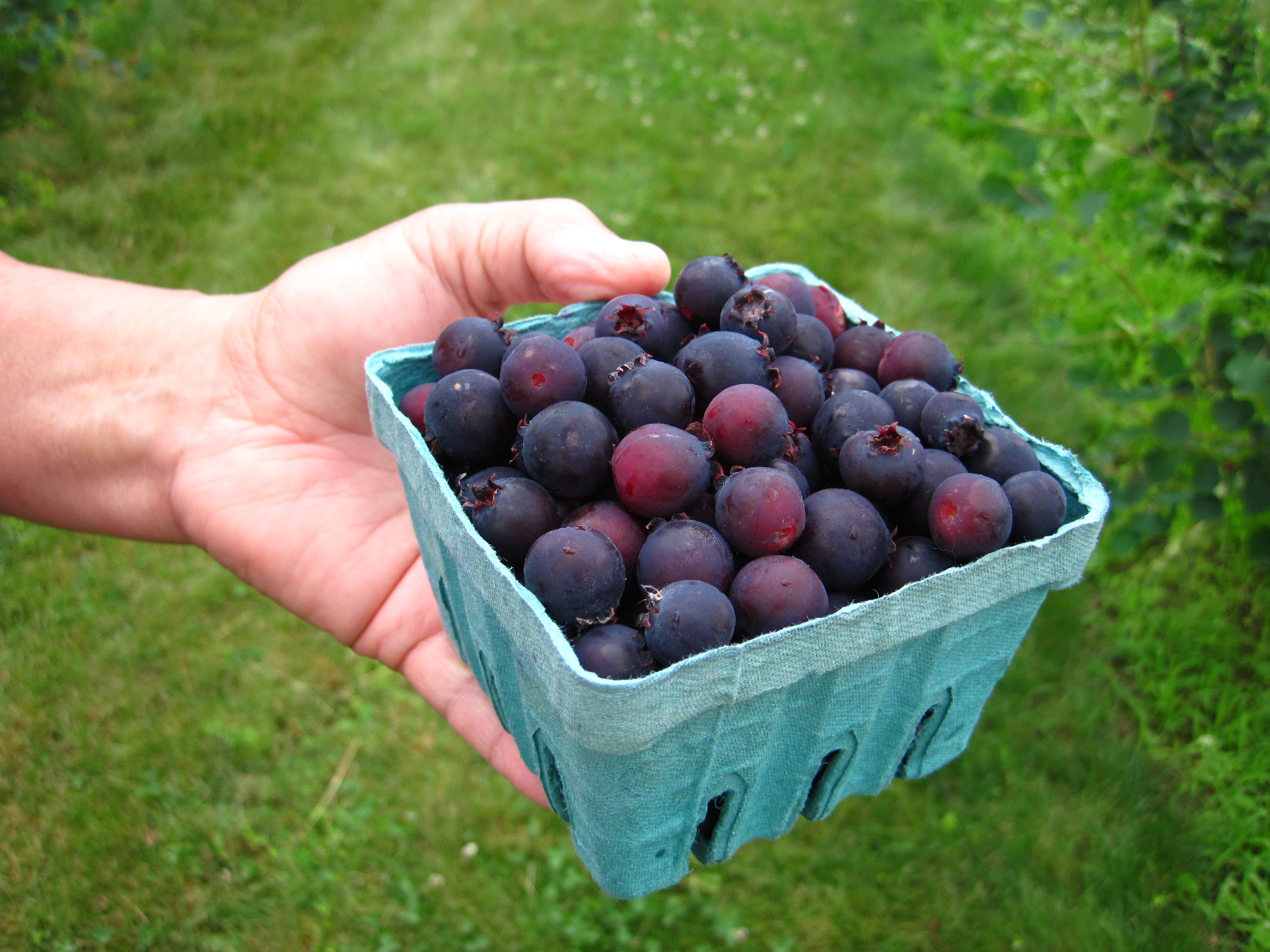 A fruit picker holds a quart basket of Saskatoon berries at G&S Orchards in Walworth, N.Y. on June 26, 2013 .