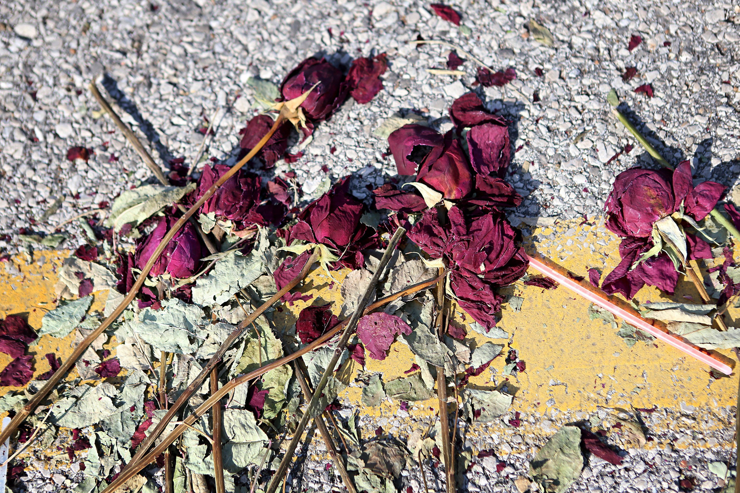 Aug. 23, 2014. The hot summer sun took it's toll on a row of roses laid on Canfield Drive leading to the site where 18-year-old Michael Brown was fatally shot by police on August 9, 2014, in Ferguson.