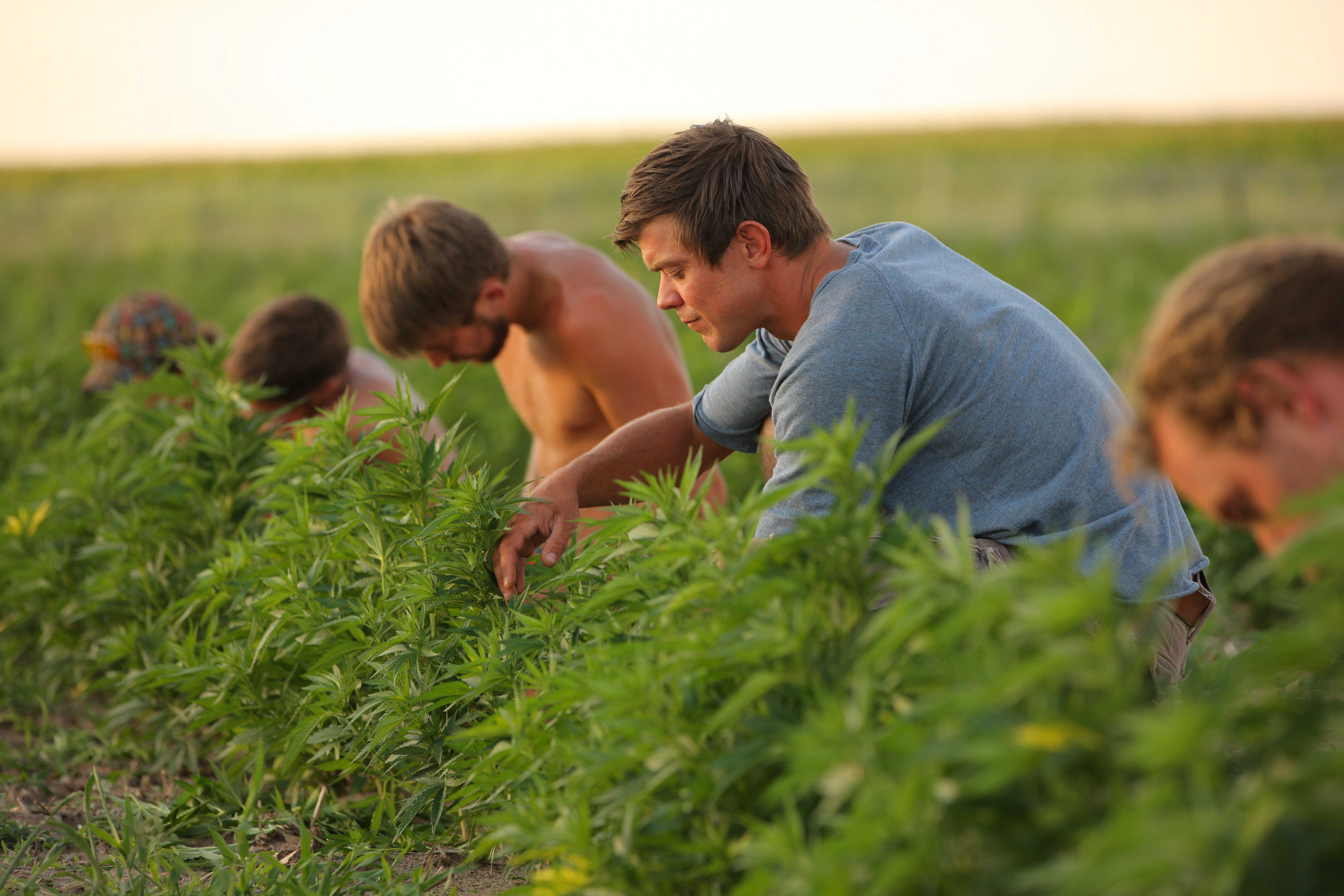 Jordan Stanley and others prune hemp plants growing on their family''s farm outside Wray, Colo., on July 31, 2014