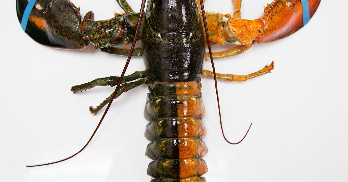 Blue Lobsters And 11 Interesting Lobster Facts Time