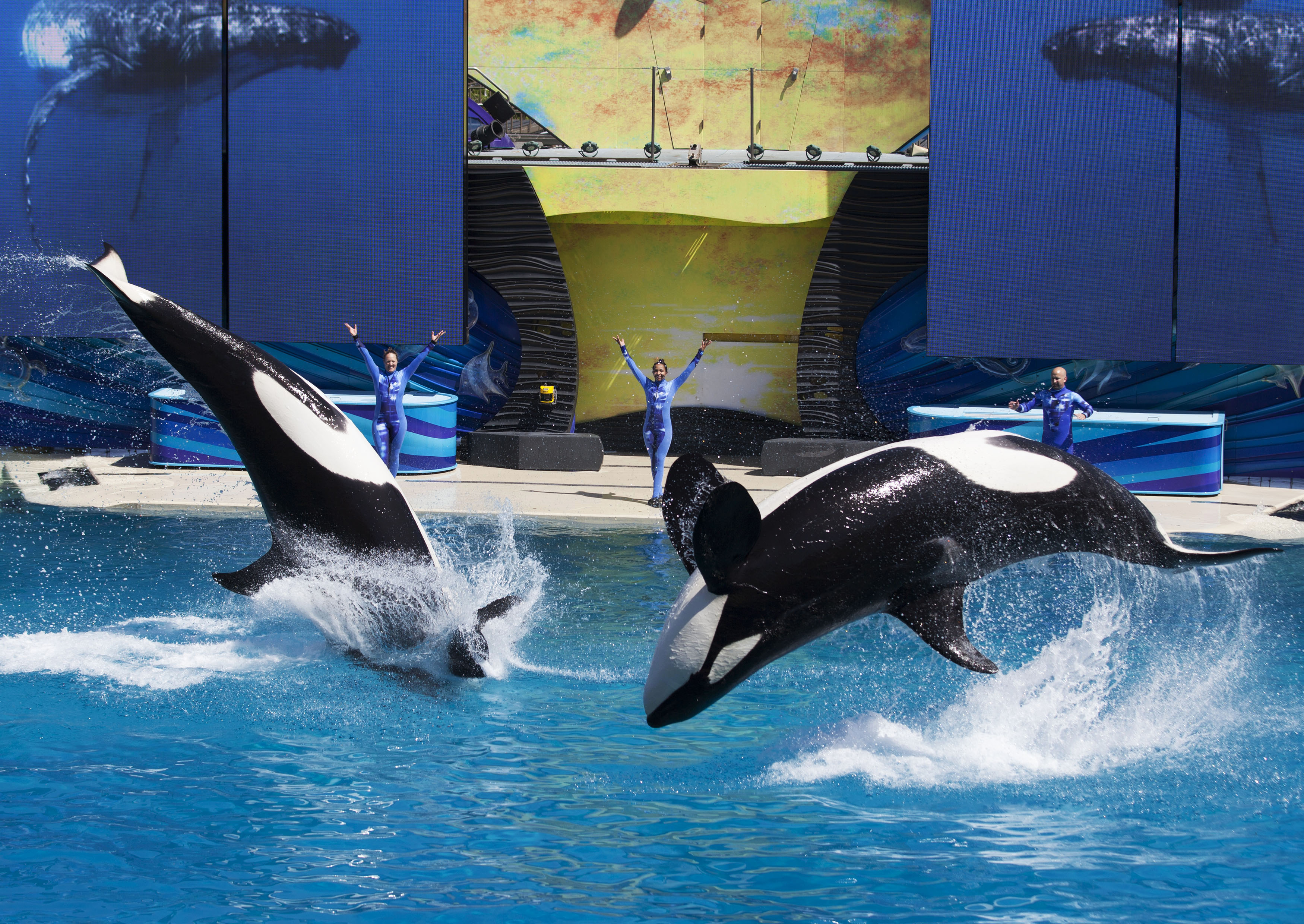 Trainers have Orca killer whales perform for the crowd  during a show at the animal theme park SeaWorld in San Diego, on March 19, 2014.