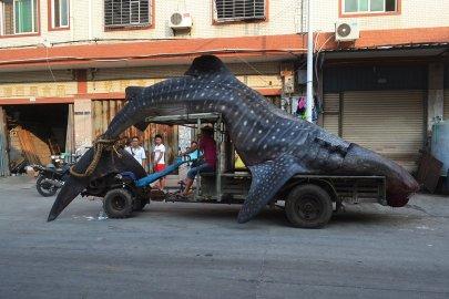 TOPSHOTS-CHINA-ANIMAL-SHARK