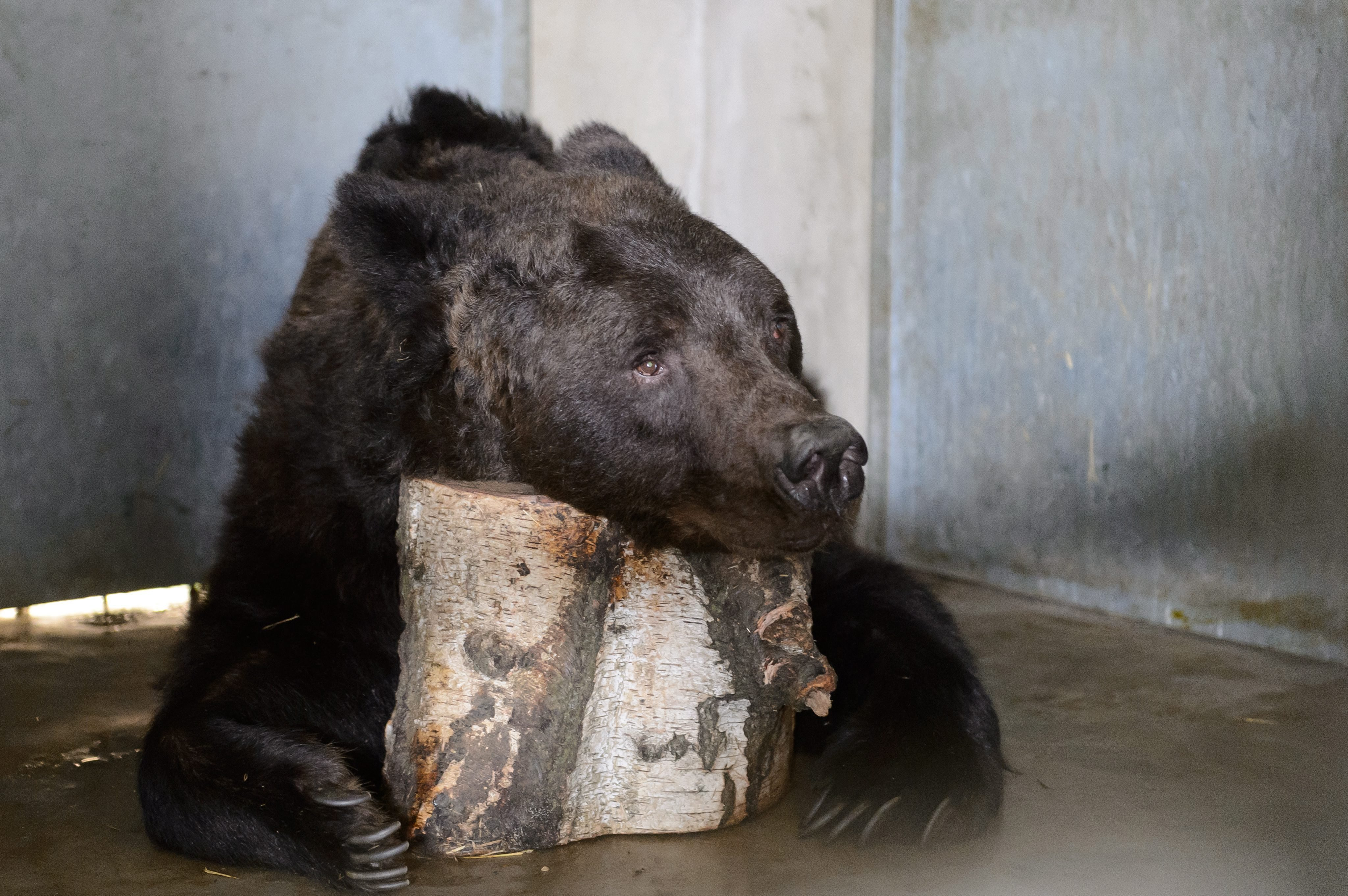 Misha, a brown bear waits for his first dental treatment in his enclosure at the Poznan Zoo in Poznan, Poland on Sept. 5, 2014.