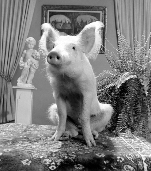 """A pig that played Arnold on the TV show, """"Green Acres,"""" 1970."""