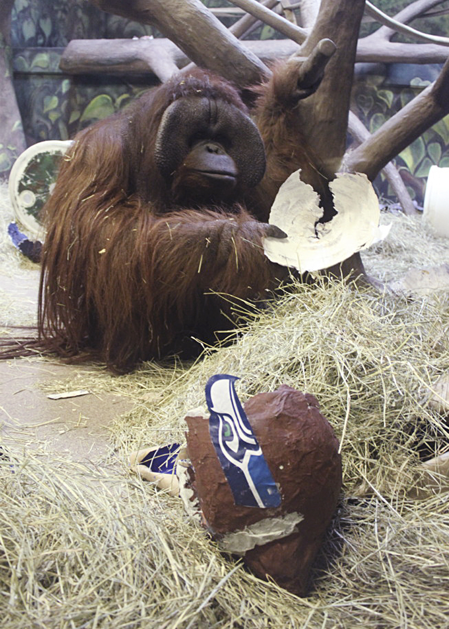 In this Jan. 30, 2014, photo Eli the ape has a paper mache Seattle Seahawks helmet he chose over a Denver  Broncos helmet, predicting the winner of the Super Bowl, at the Hogle Zoo, in Salt Lake City.