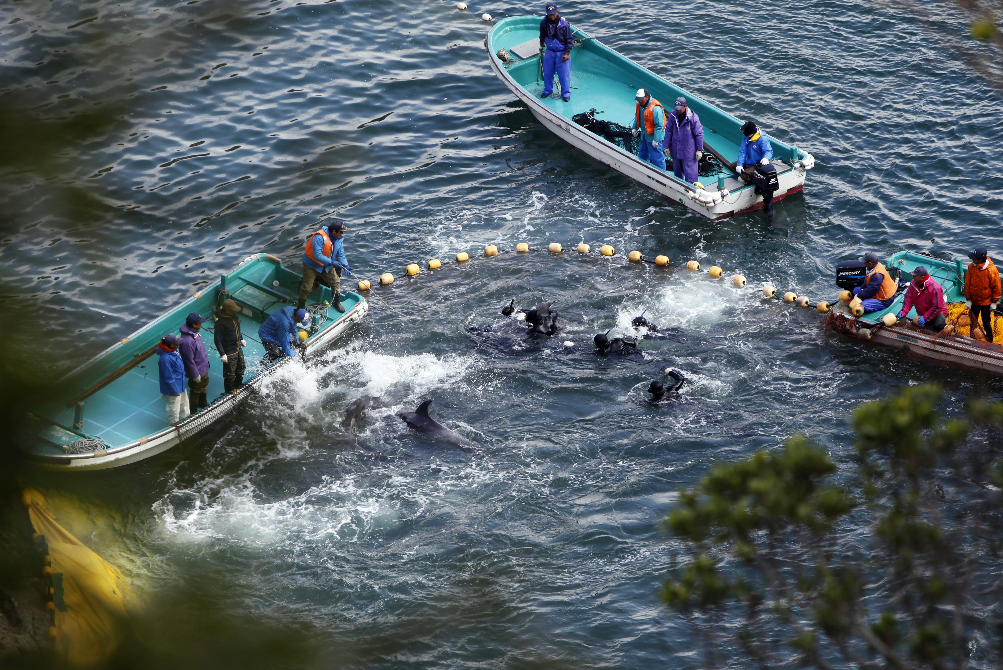 Fishermen hunt dolphins at a cove in Taiji, western Japan, on Jan. 20, 2014