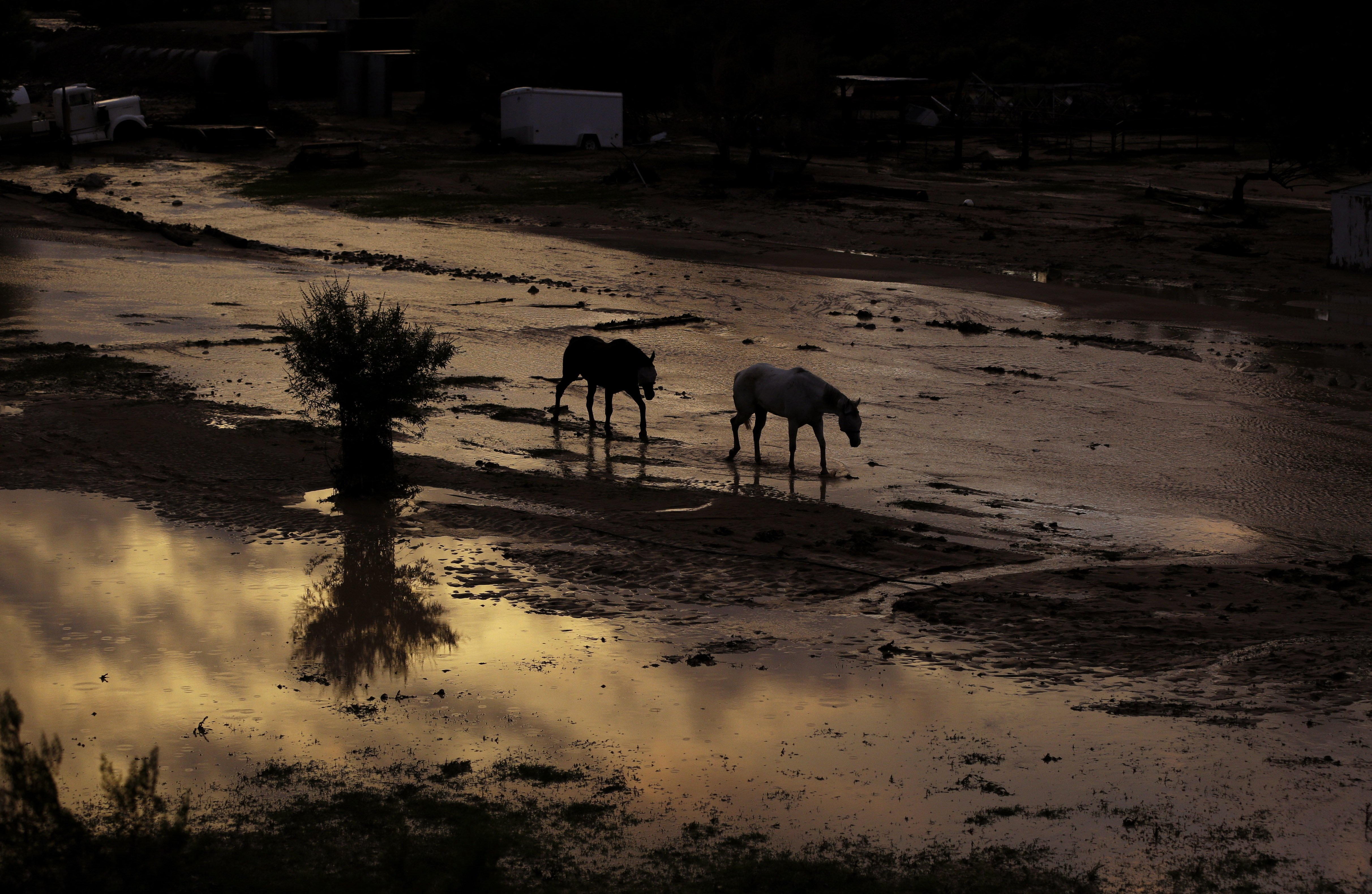 Horses walk through flood water behind a home in Moapa, Nev., Sept. 8, 2014.