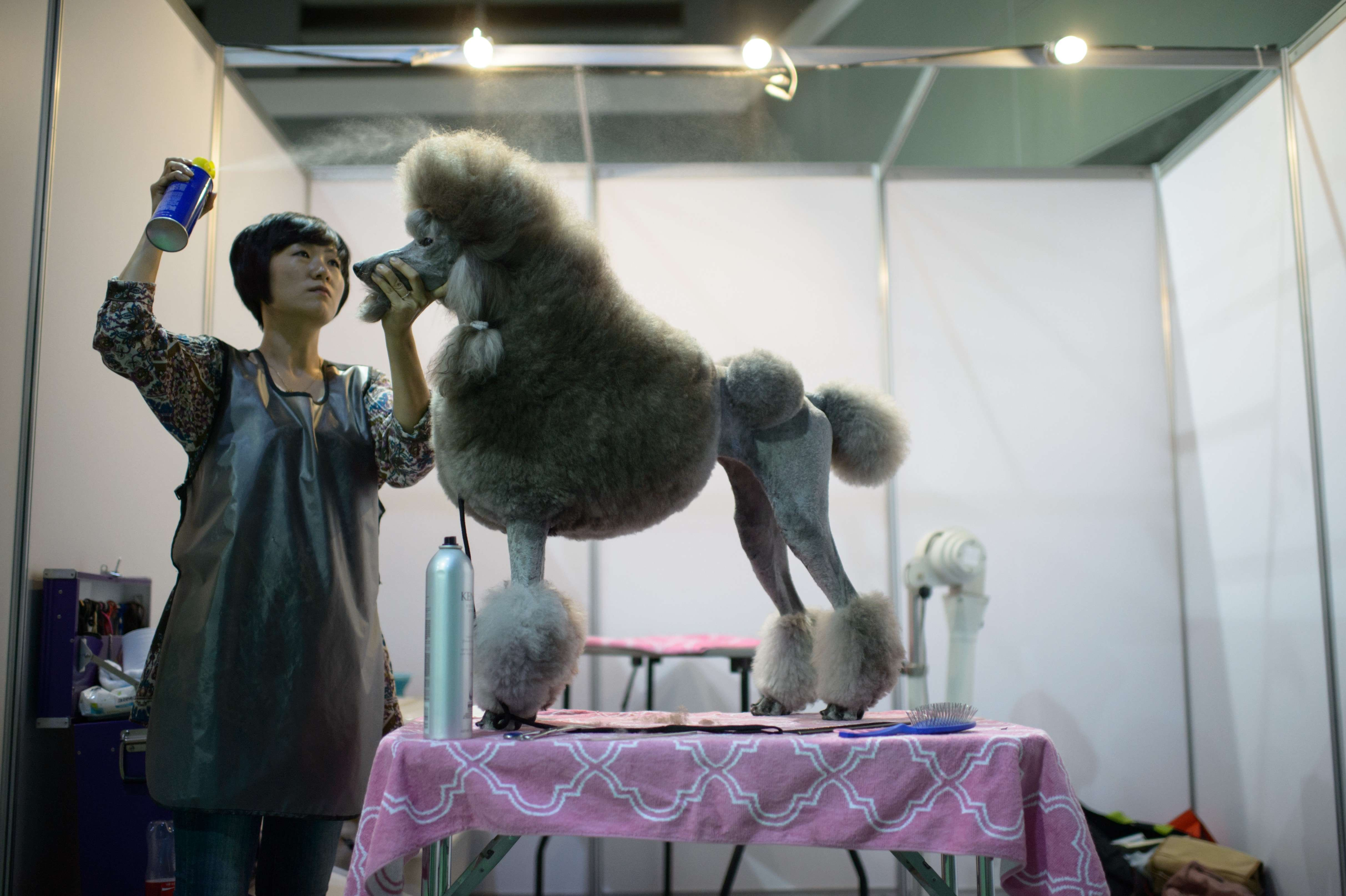 A dog owner sprays hairspray on her poodle backstage at a dog show in Seoul on Aug. 30, 2014.