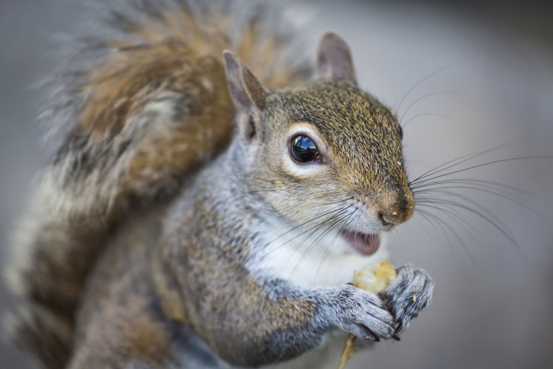 The deceptively adorable gray squirrel could be the most loathed animal in Britain. Grays, which are native to North America, carry deadly squirrel pox, to which they are immune but native red squirrels are vulnerable. They also eat seven times more food per hectare than their scarlet cousins.