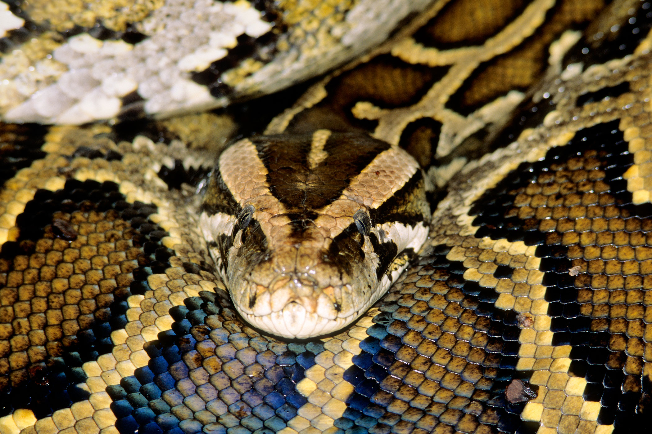 The snake craze among American pet owners in the mid-1990s grew out of control when python owners began releasing the 20-ft. creatures into the wild once they became too big for their tanks. Unlike many domesticated animals who can't survive in the wild, the pythons have thrived and multiplied, particularly in the Everglades.