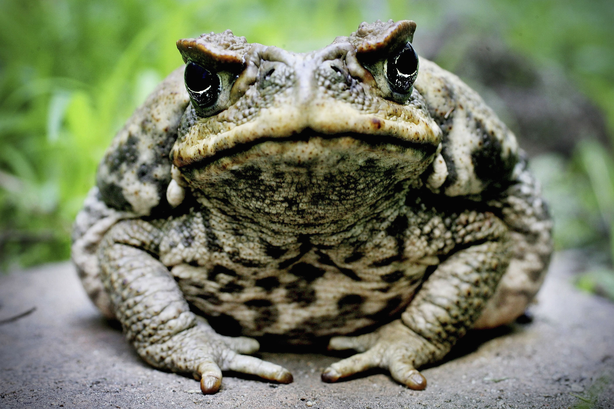 Originally introduced to control pests, the cane toad has become a pest of its own. Native to Central America, the toads were brought to Australia in 1935 in an attempt to control the cane beetle population in sugar plantations. Ultimately there was no evidence they killed a single beetle. Instead, the toads took over.