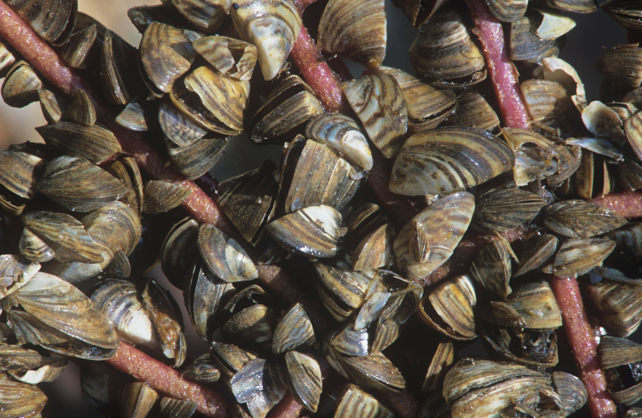 Zebra mussels, an invasive species native to the Caspian Sea, are thought to have hitched a ride to the midwestern Great Lakes in the late 1980s by clinging to the hulls of U.S.–bound European vessels. The unwelcome visitors, which have since spread east to New England, are known to feed on the phytoplankton.