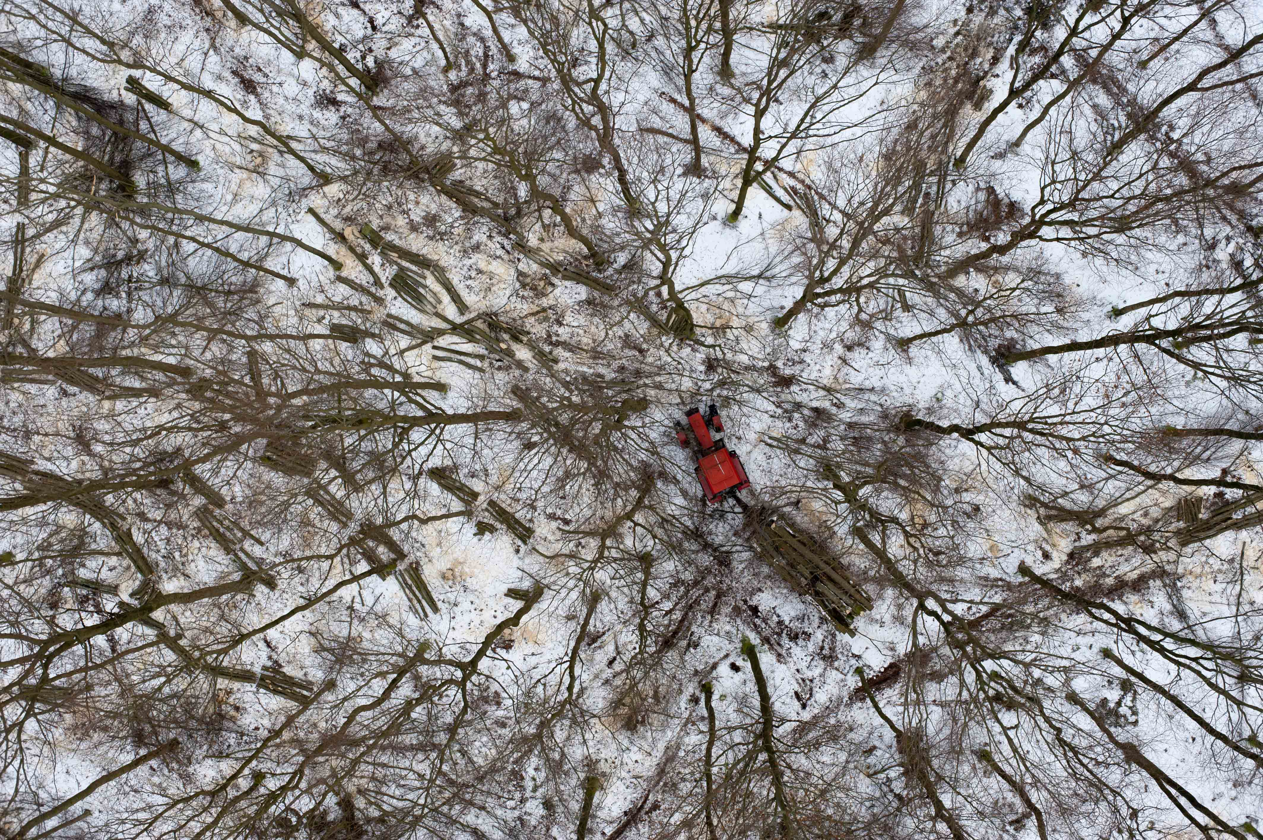 Snow surrounds felled trees as in a forest near Gdynia, Poland.