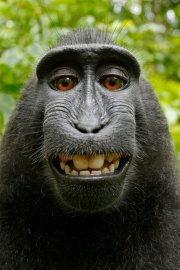 A monkey takes a selfie with British photographer David Slater's camera. Indonesia, 2011.