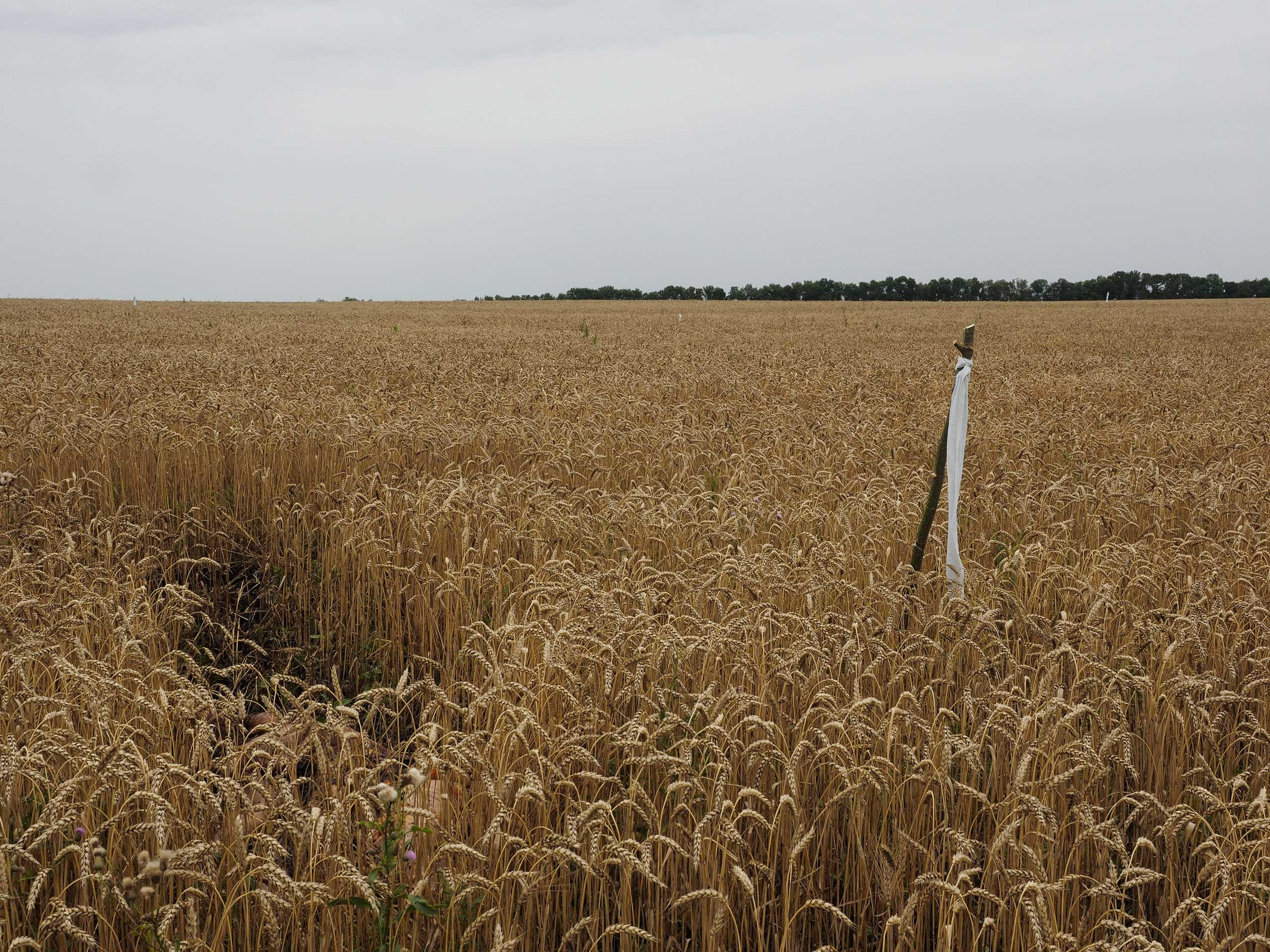 A bare patch in wheat field marks where a victim of Malaysia Airlines flight MH17 fell after the passenger plane was shot down in Torez, Ukraine, July 18, 2014.