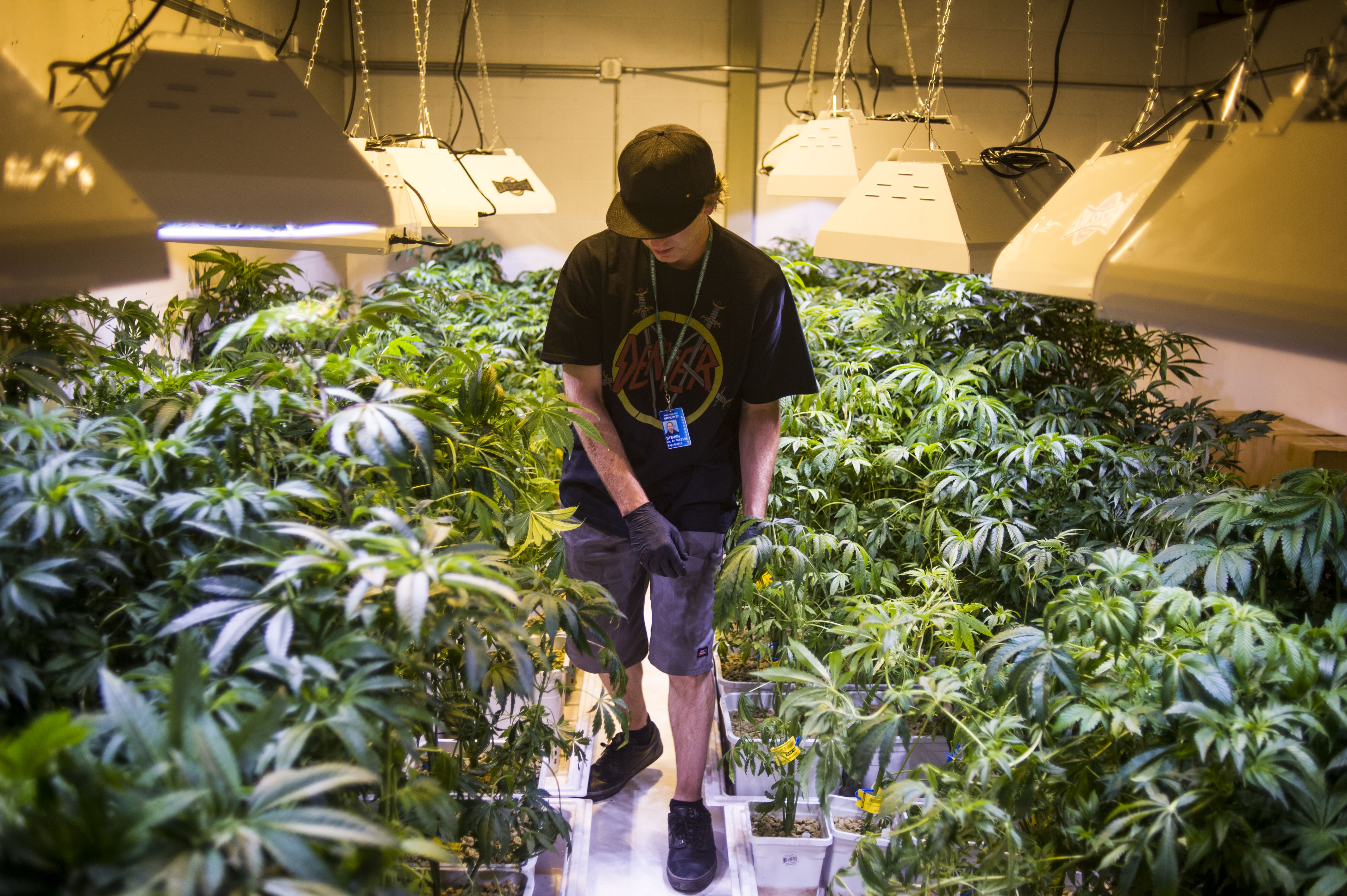 Steve Herin, Master Grower at Incredibles, works on repotting marijuana plants in the grow facility on Wednesday, August 13, 2014 in Denver, Colorado.