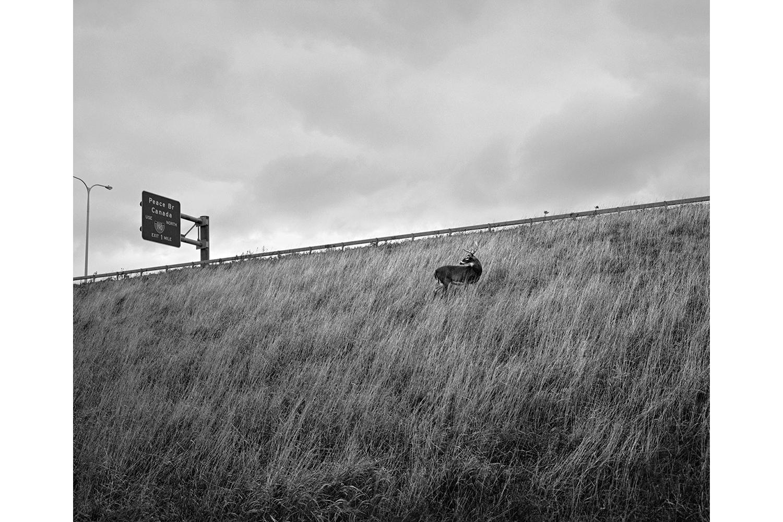 Deer on Highway Embankment, Buffalo, New York, November 4, 2012